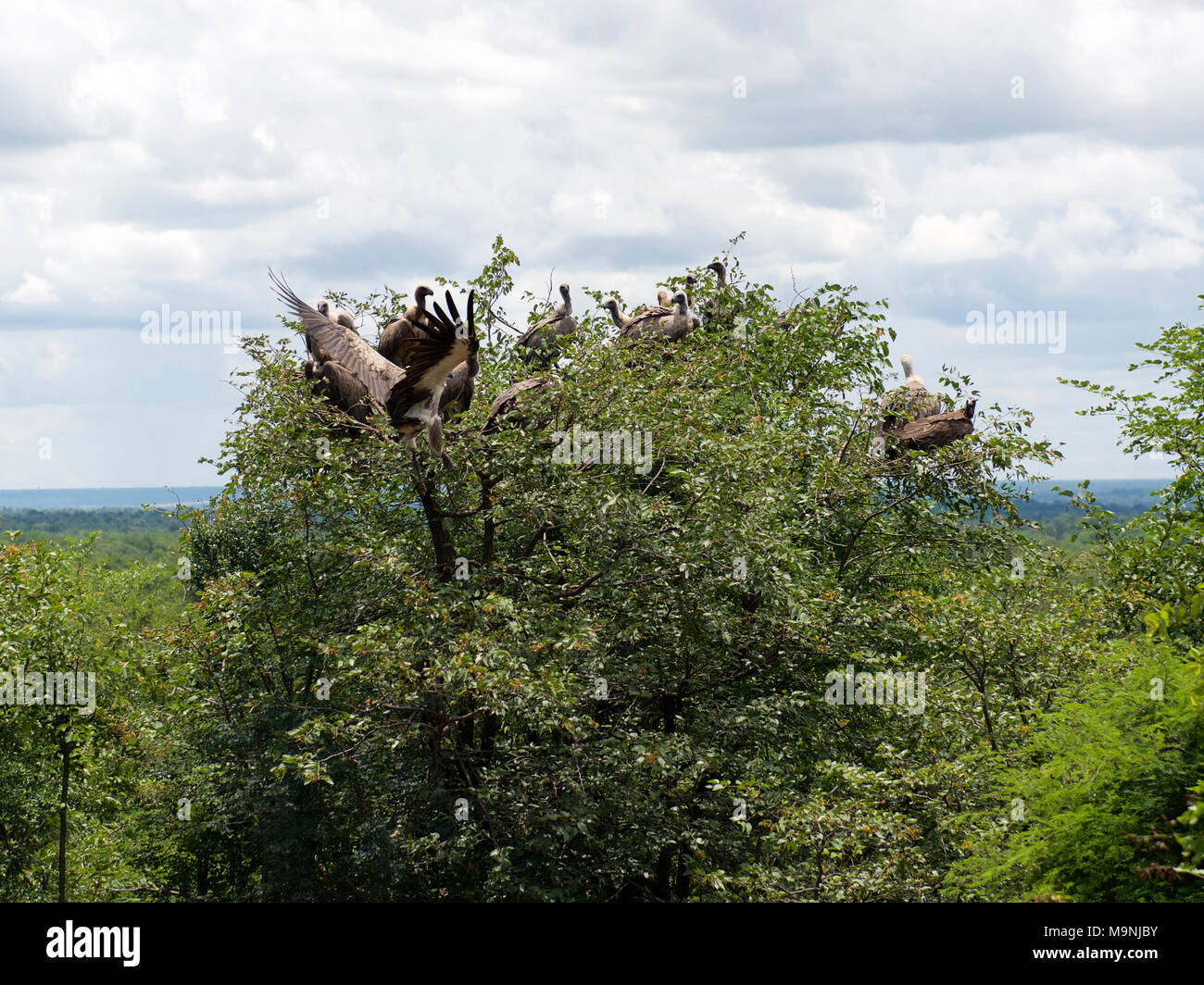 White Headed, Hooded, Lappet Faced, Cape, White-Backed Vultures and Marabou Storks circle and feed on a carcass in Zimbabwe National Park Stock Photo