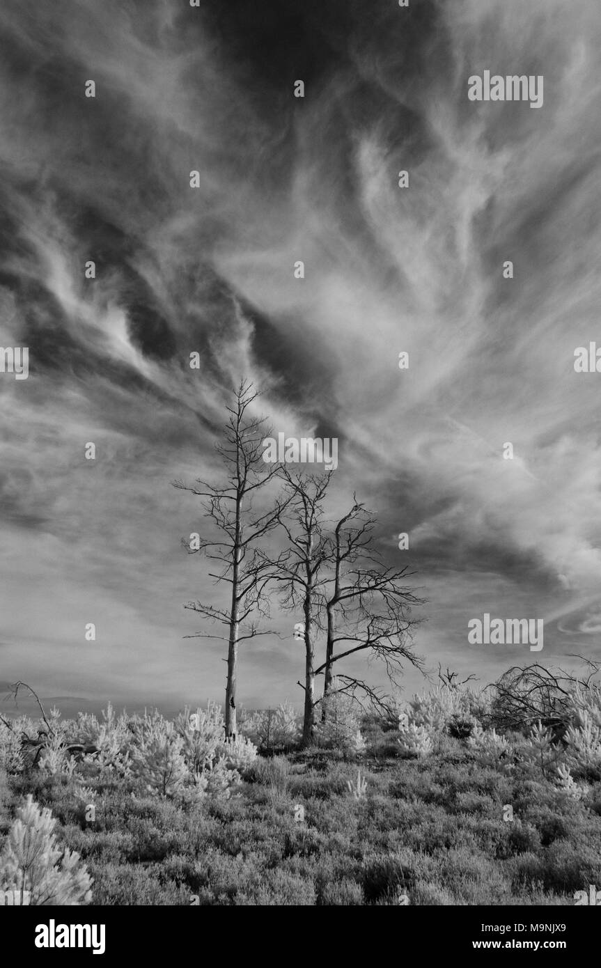 Infrared picture of dead trees against cloudy skies surrounded by the heathland of National Trusts Frensham Little Pond in Surrey Hills AONB, England - Stock Image