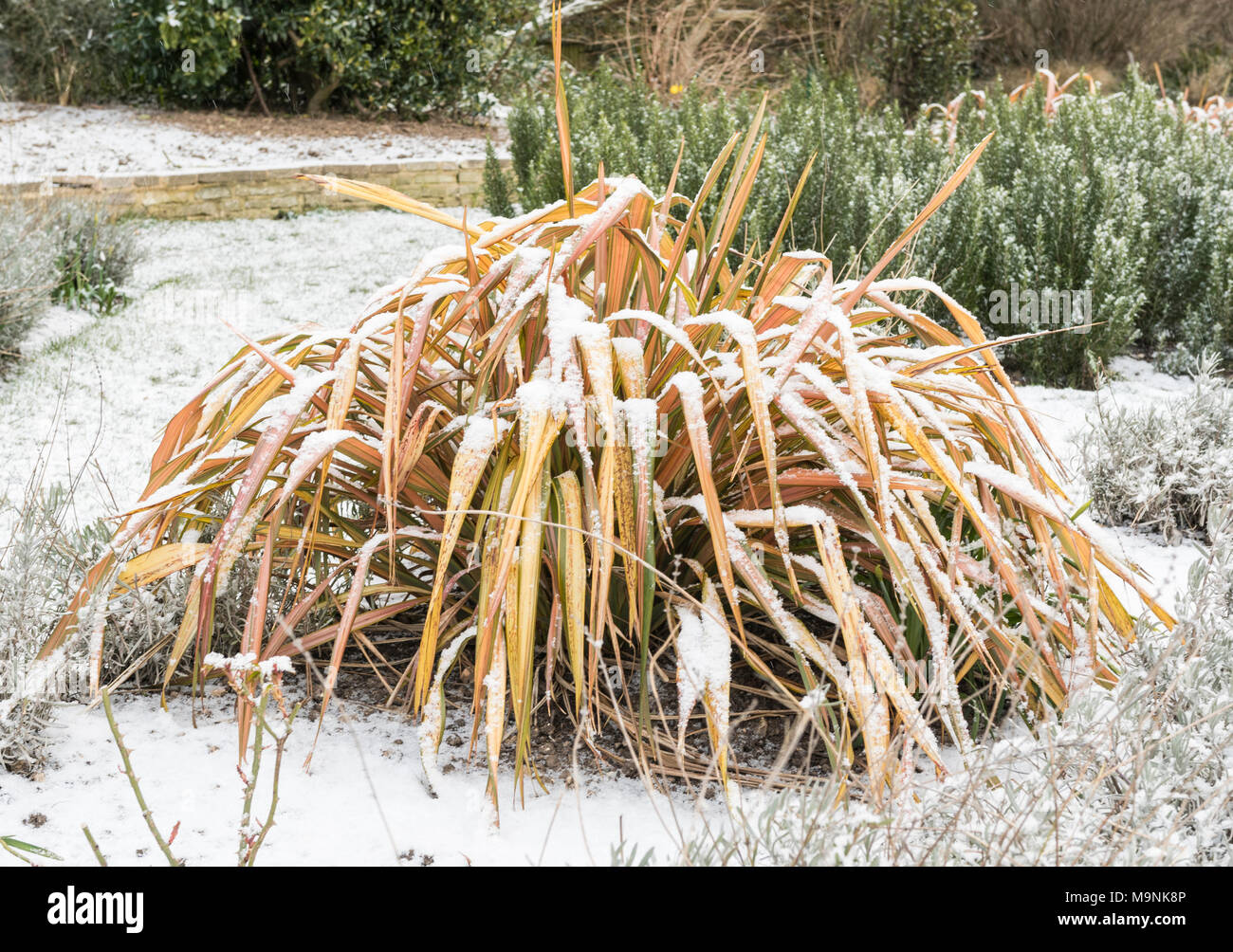 Phormiun hybrid 'Maori Maiden' (New Zealand Flax) evergreen perennial shrub growing in Winter covered in snow in West Sussex, England, UK. - Stock Image