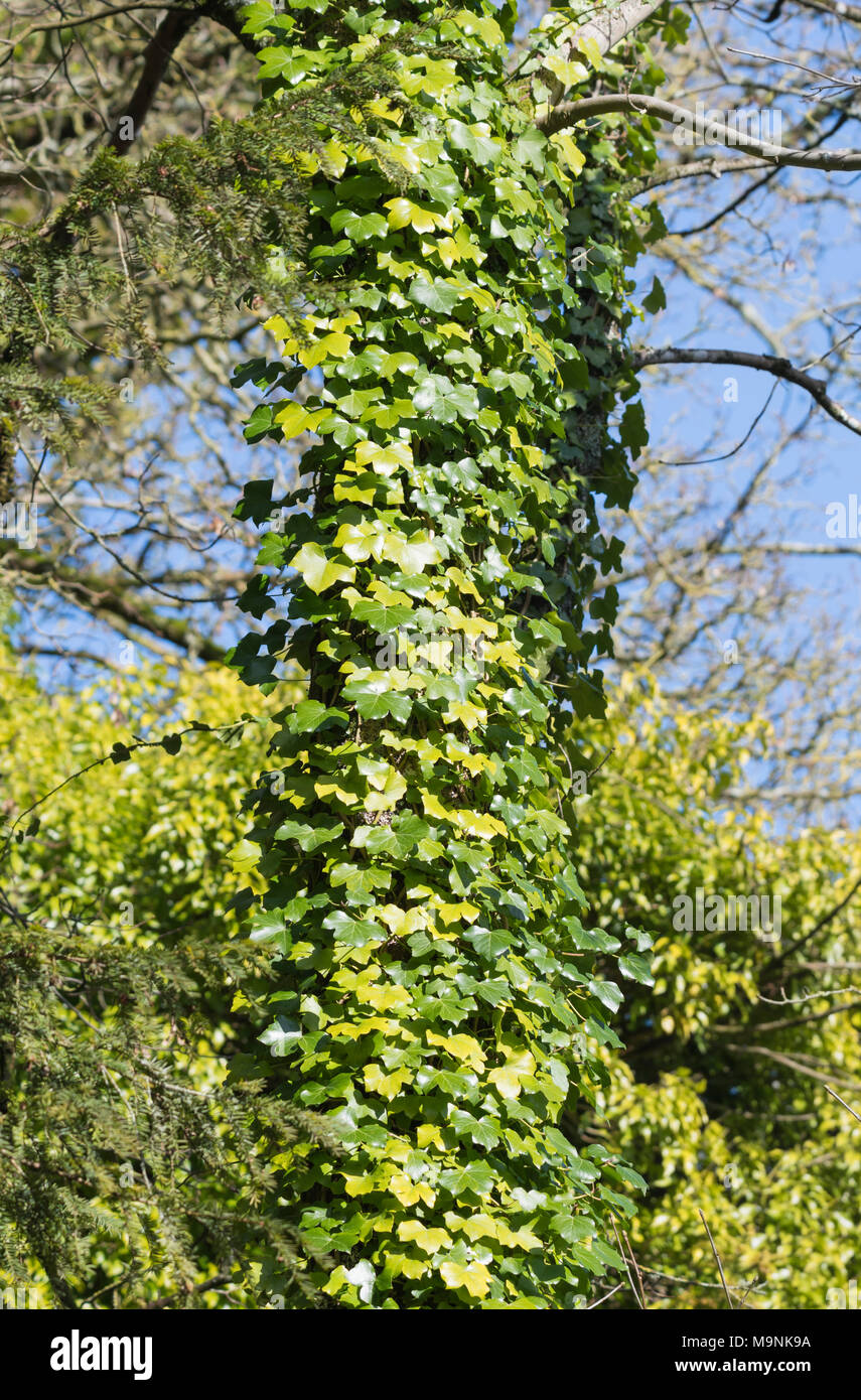 Ivy creeper (Hedera) growing and climbing up a tree trunk in Winter in the UK. - Stock Image