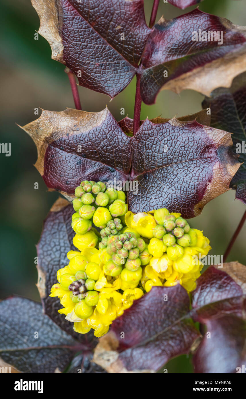 Berberis aquifolium (Oregon Grape) plant with redish brown leaves and yellow flowers growing in Spring in West Sussex, England, UK. - Stock Image