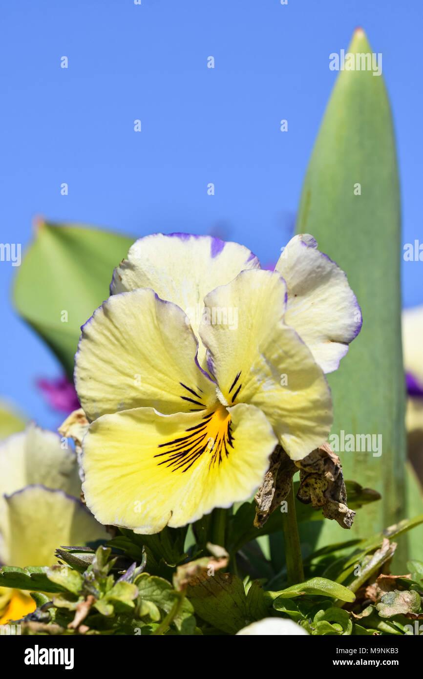 Creamy yellow Spring Garden Pansies (Viola x wittrockiana) blooming in early Spring in West Sussex, England, UK. Creamy yellow Spring Garden Pansy. - Stock Image