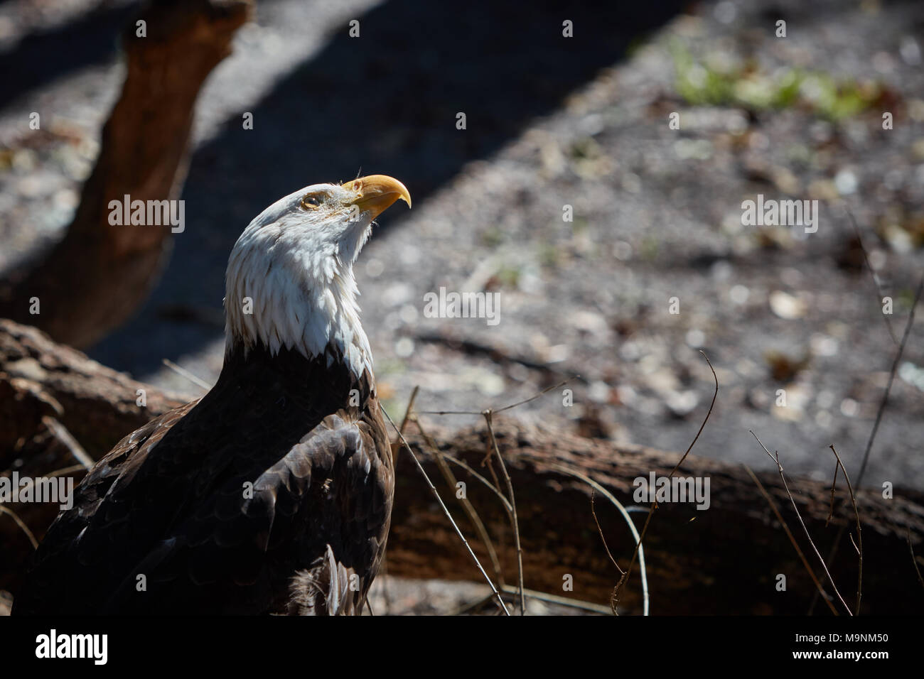 Bald Eagle with head cocked looking upwards at something - Stock Image