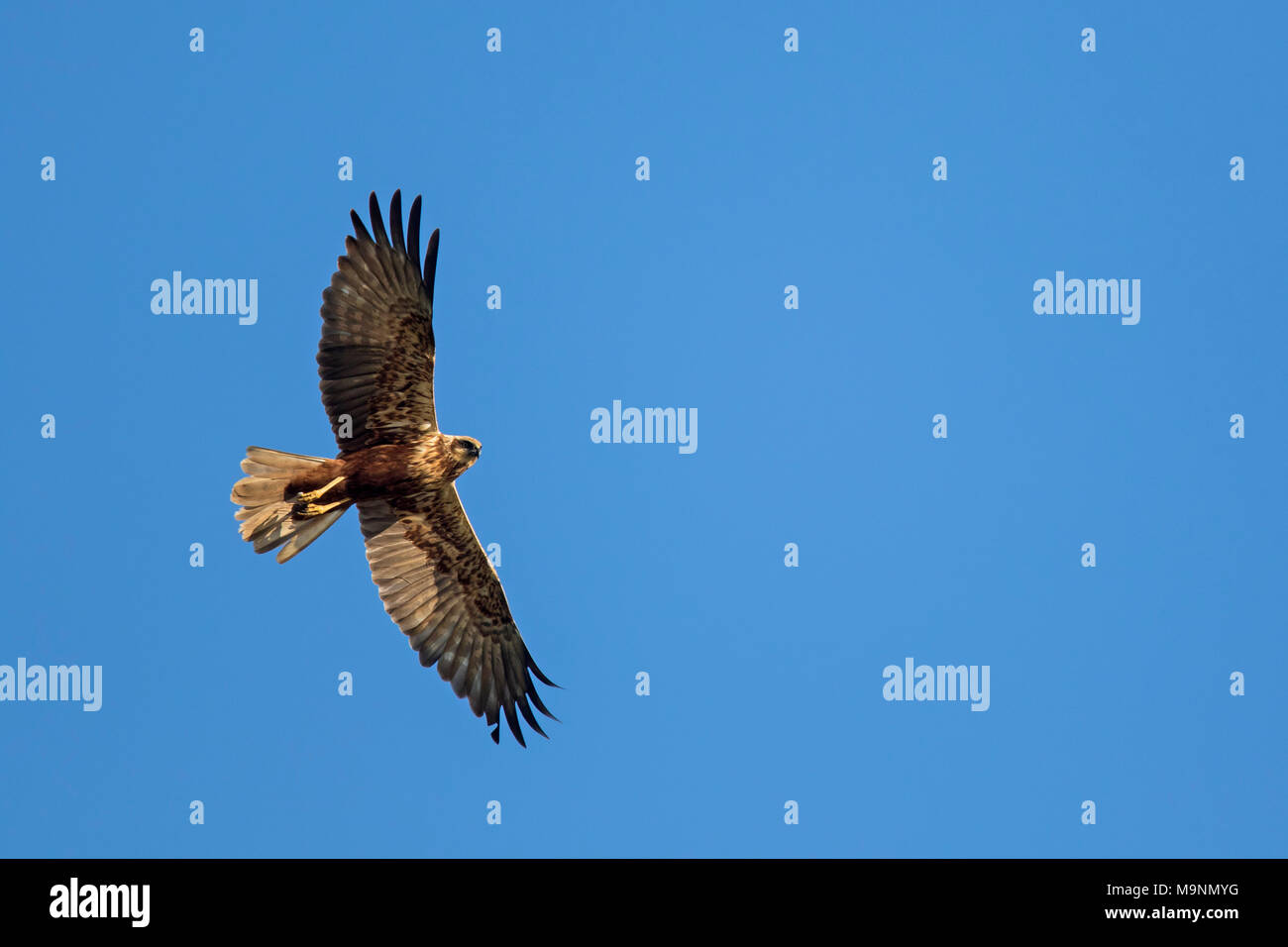 Western marsh harrier / Eurasian marsh harrier (Circus aeruginosus), female in flight against blue sky Stock Photo