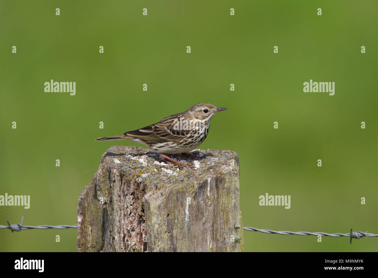 Meadow pipit (Anthus pratensis) perched on old wooden fence post along grassland - Stock Image