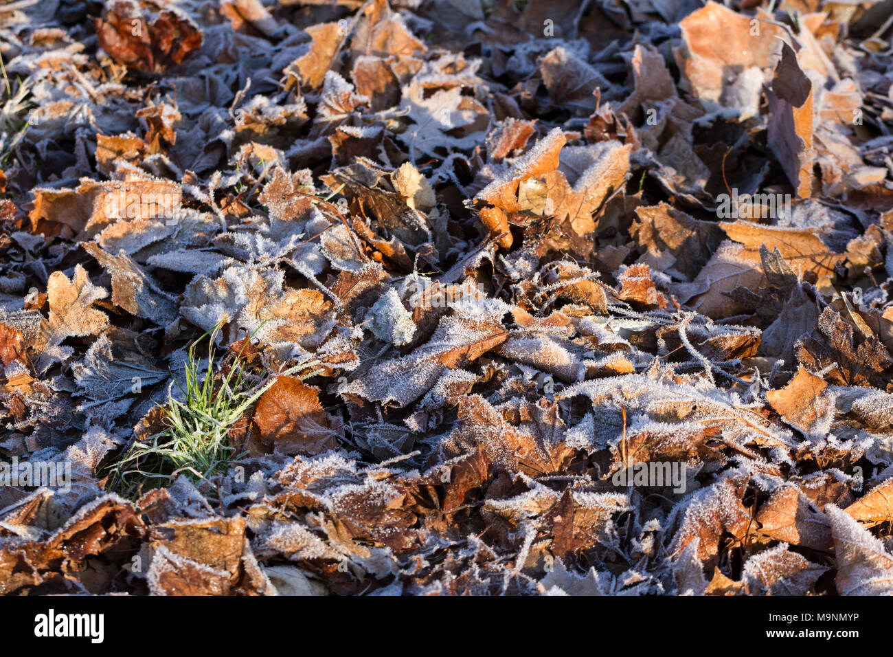 Frost covered leaves on the ground - Stock Image