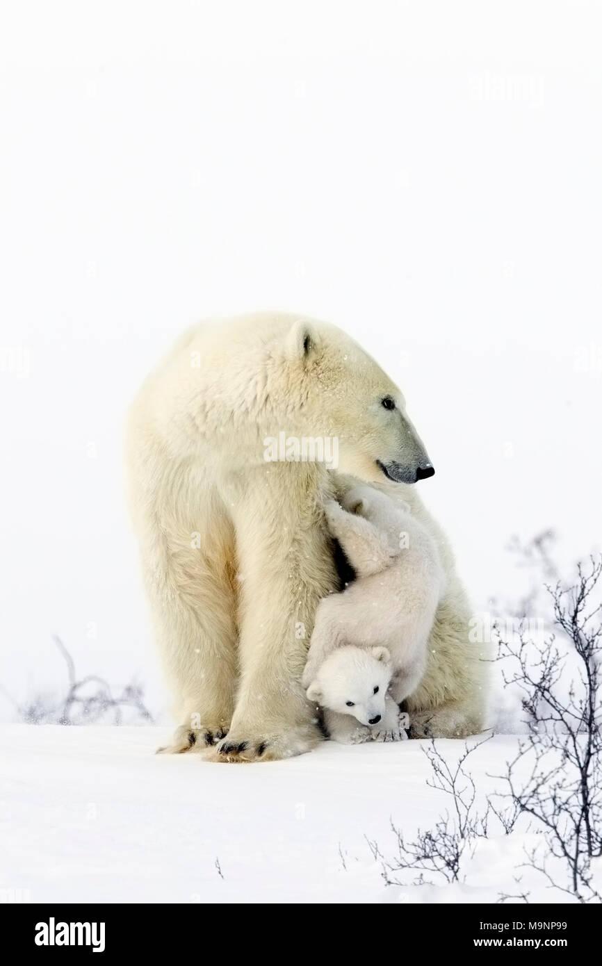 Polar Bear Mom and Playful Cubs - Stock Image