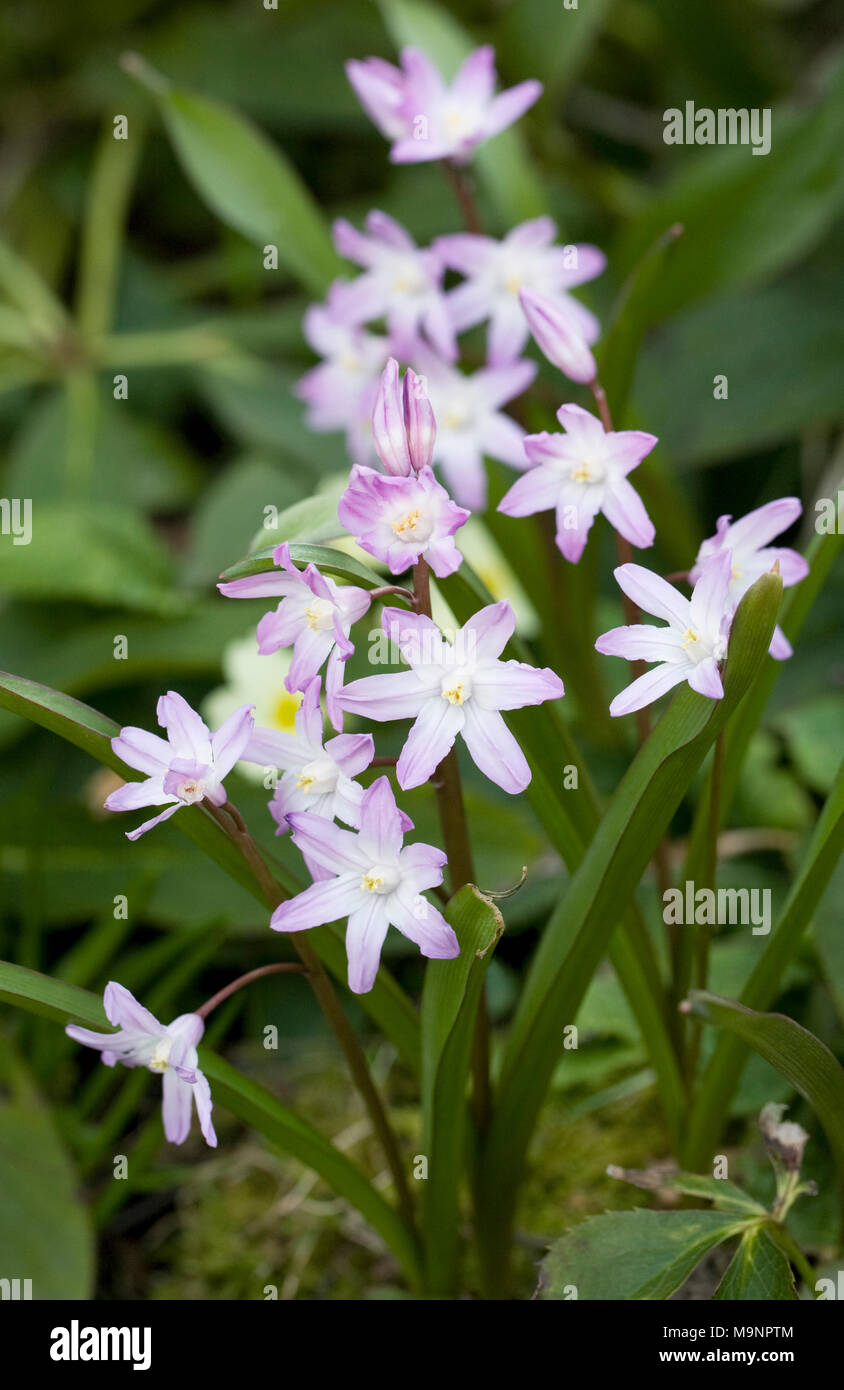 Star shaped flowers stock photos star shaped flowers stock images chionodoxa pink giant flowers stock image mightylinksfo