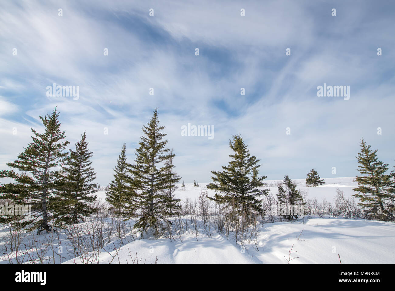 TAIGA - occurring between the boreal forest and the arctic tundra -- sometimes referred to as the 'land of little sticks' area Manitoba, Canada - Stock Image