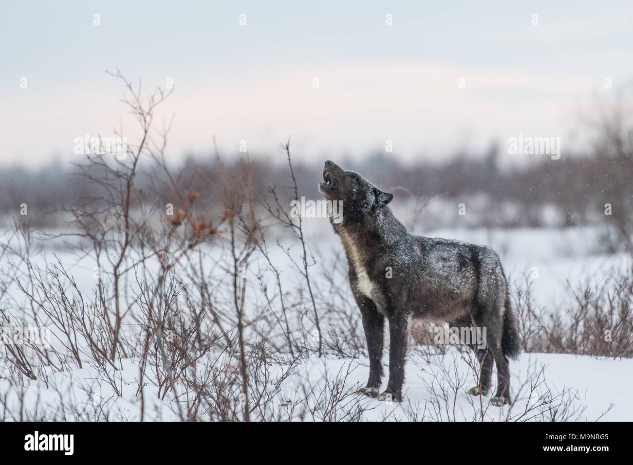 Black Wolf Howling - Stock Image