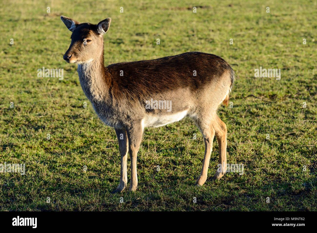 Sika deer hind (Cervus nippon) at the  Scottish Deer Centre, Bow of Fife, Cupar, Scotland, UK - Stock Image