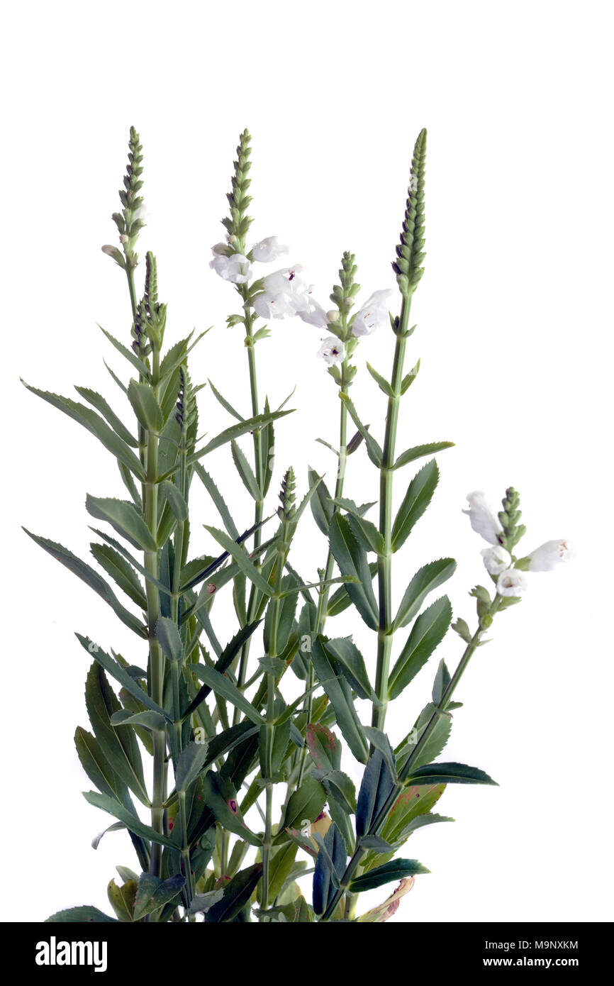 'Summer Snow' Obedient plant, Drakmynta (Physostegia virginiana) - Stock Image