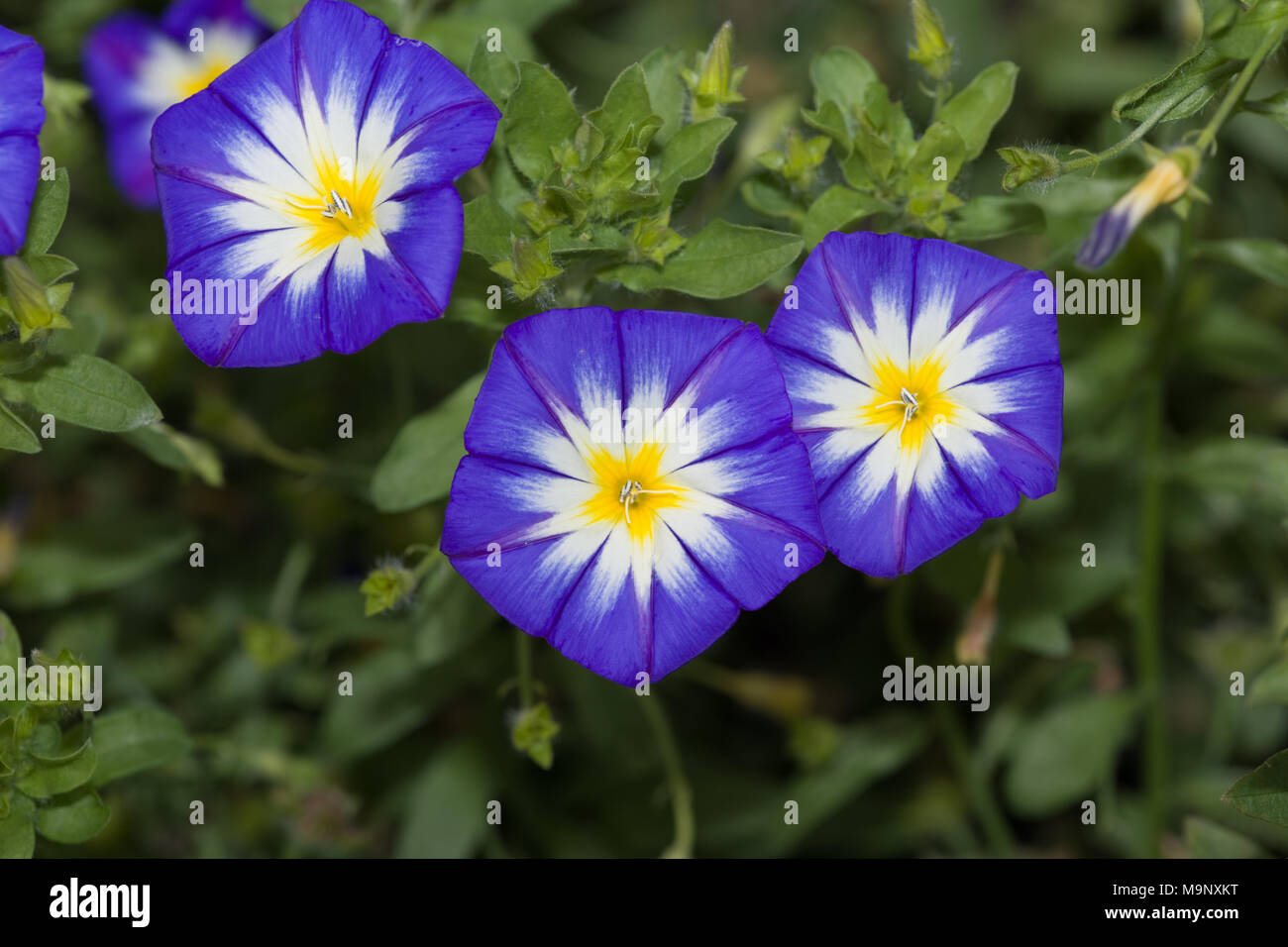 Dwarf morning-glory, Blåvinda (Convolvulus tricolor) - Stock Image