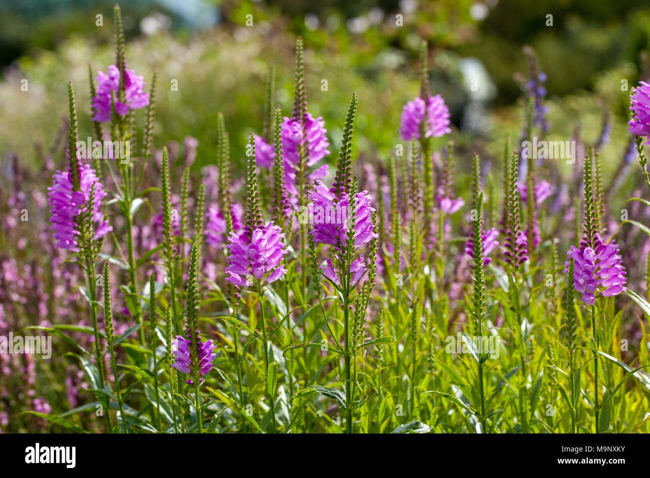 'Bouquet Rose' Obedient plant, Drakmynta (Physostegia virginiana) - Stock Image