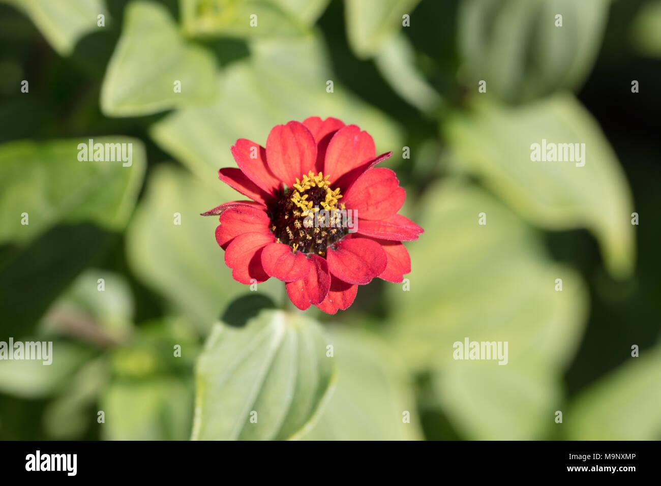 Zinnia peruviana, Chrysogonum peruvianum, Crassina intermedia, Crassina leptopoda, Crassina multiflora, Crassina peruviana, Crassina tenuiflora, Crassina verticillata, Lepia pauciflora, Zinnia hybrida, Zinnia intermedia, Zinnia leptopoda, Zinnia mendocina, Zinnia multiflora, Zinnia pauciflora, Zinnia revoluta, Zinnia tenuiflora, Zinnia verticillata, Spindelzinnia, Peruvian zinnia, red flowers, annual, native flora, Americas, ornamental garden plant, wildflower, weed, Asteraceae, compositae, aster, daisy, sunflower family, korgblommiga växter, Asterales, dicot, flowering plant, Asterordningen, - Stock Image