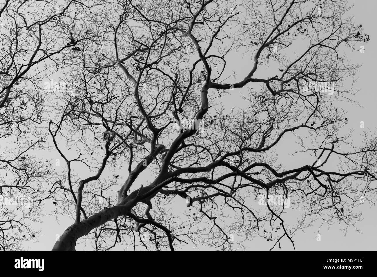 Leafless tree against sunlight black and white tone stock photo