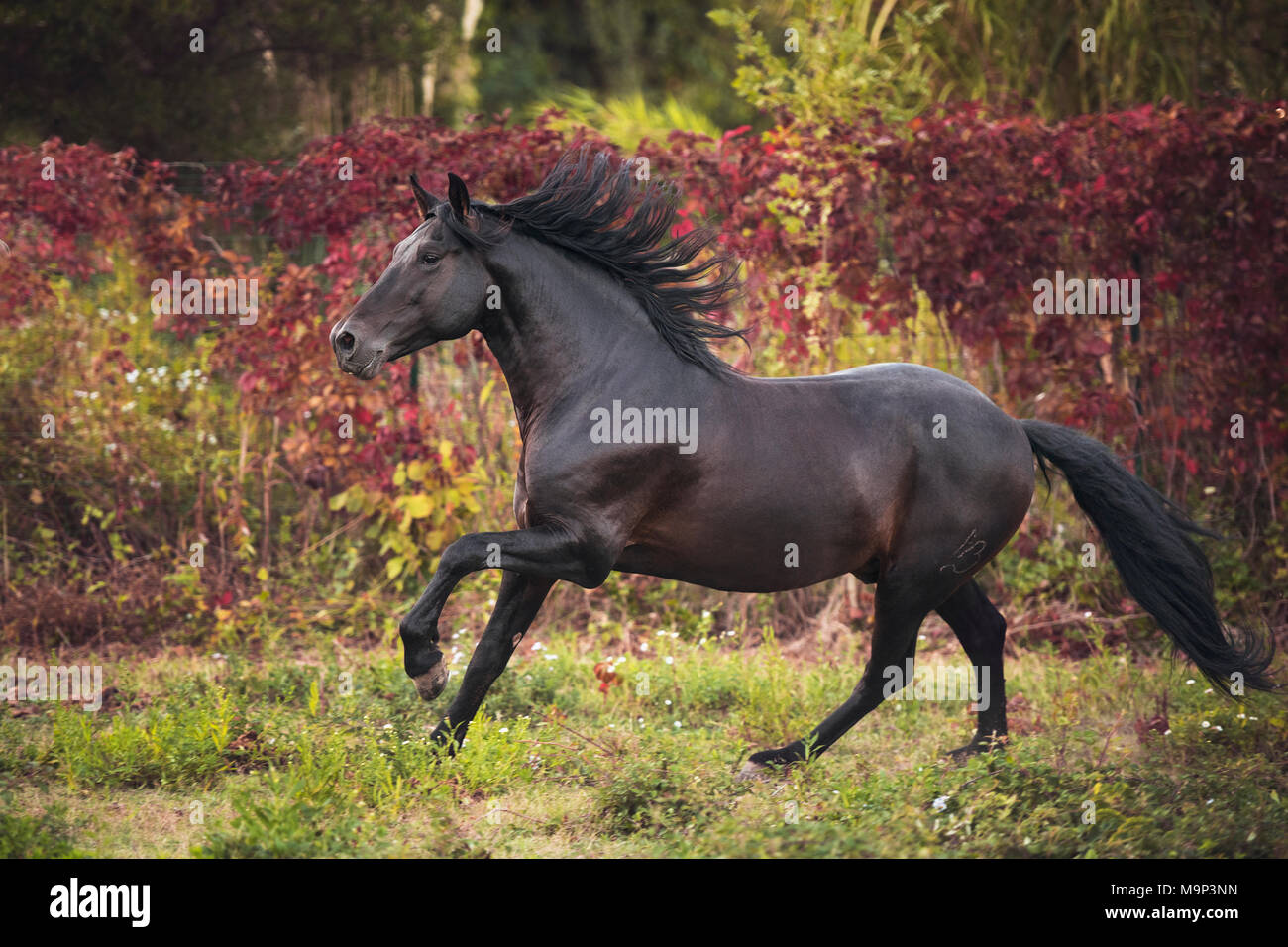 Brown Andalusian (Equus) stallion gallops across meadow, France - Stock Image
