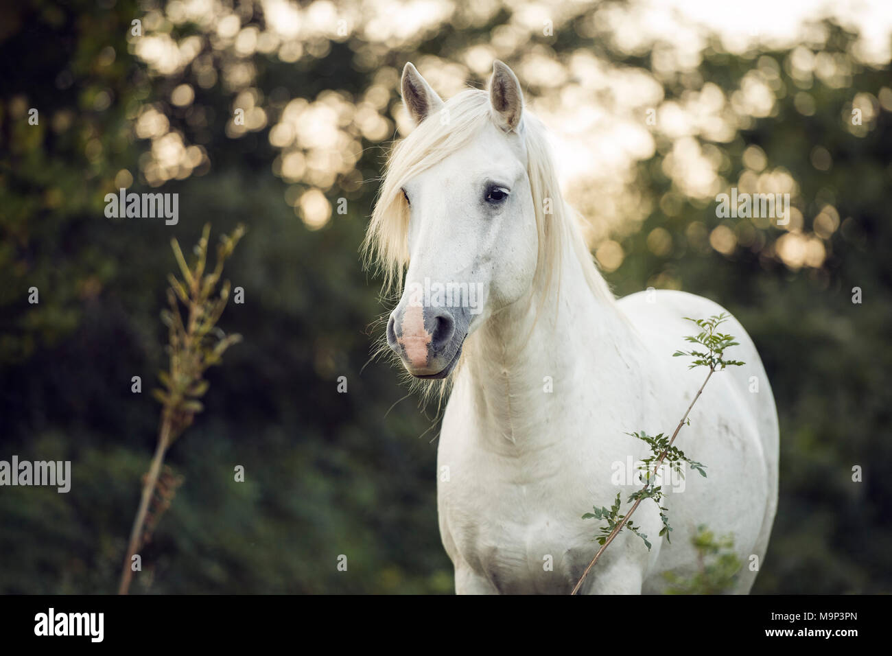 Camargue stallion (Equus) stands on the meadow, animal portrait, stallion France - Stock Image