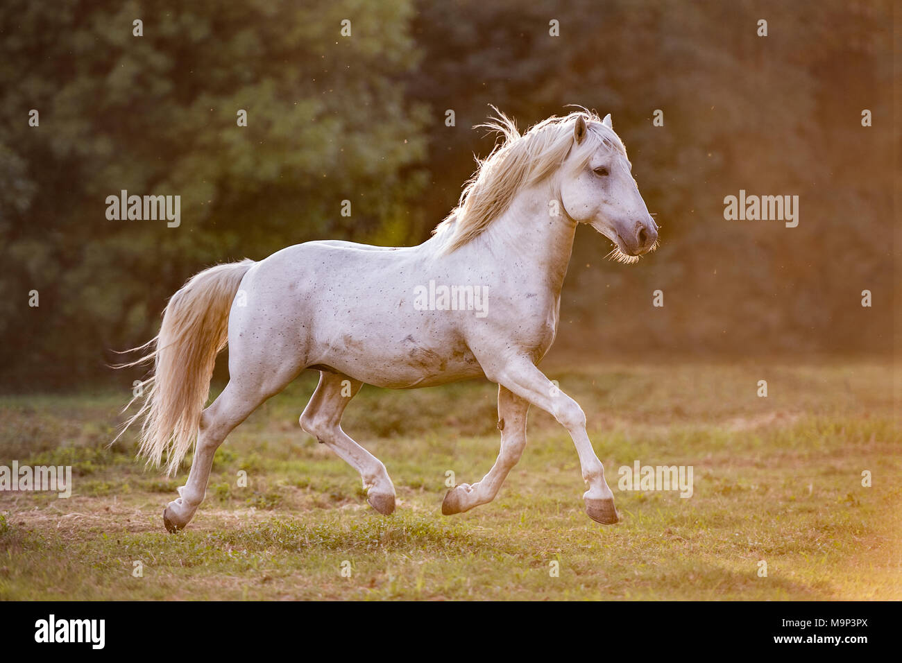 Camargue stallion (Equus) trotting across the meadow at sunset, stallion, France - Stock Image