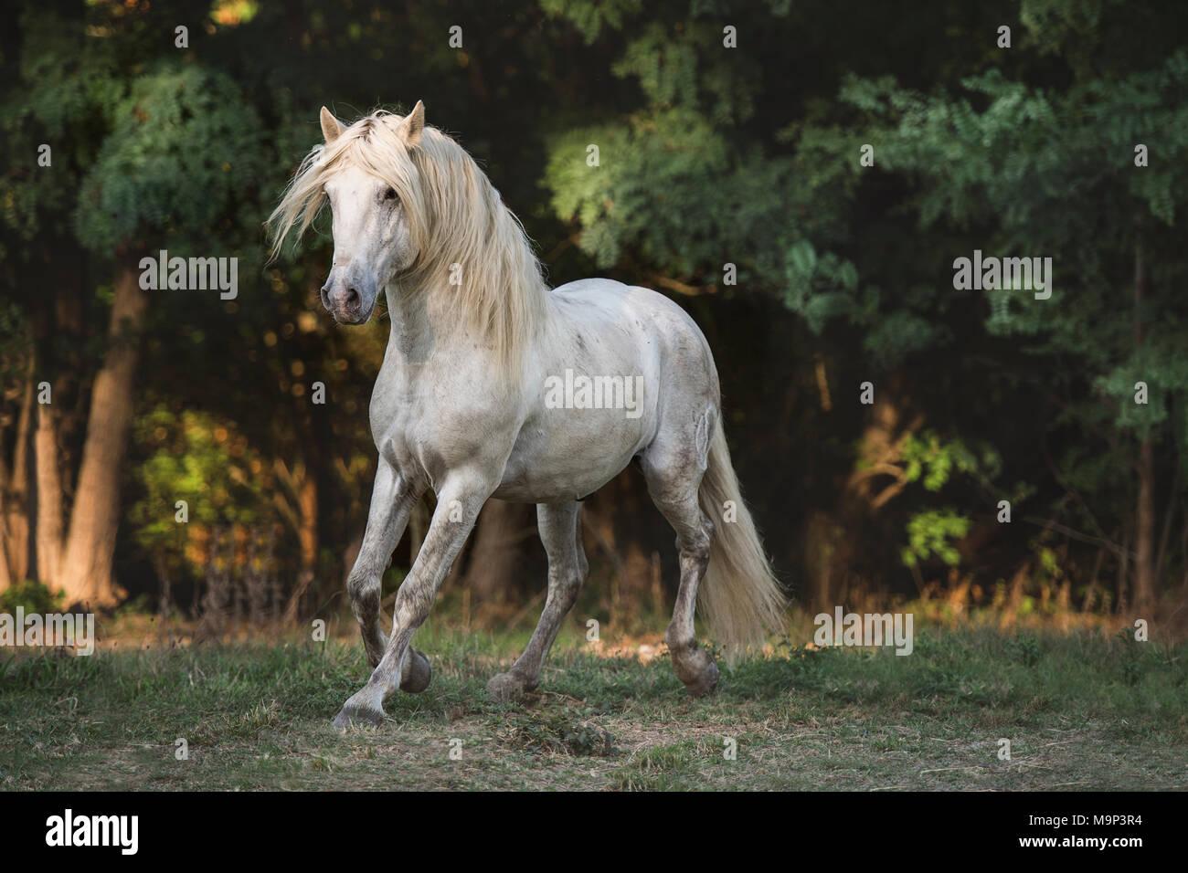Camargue stallion (Equus), trotting, stallion, France - Stock Image