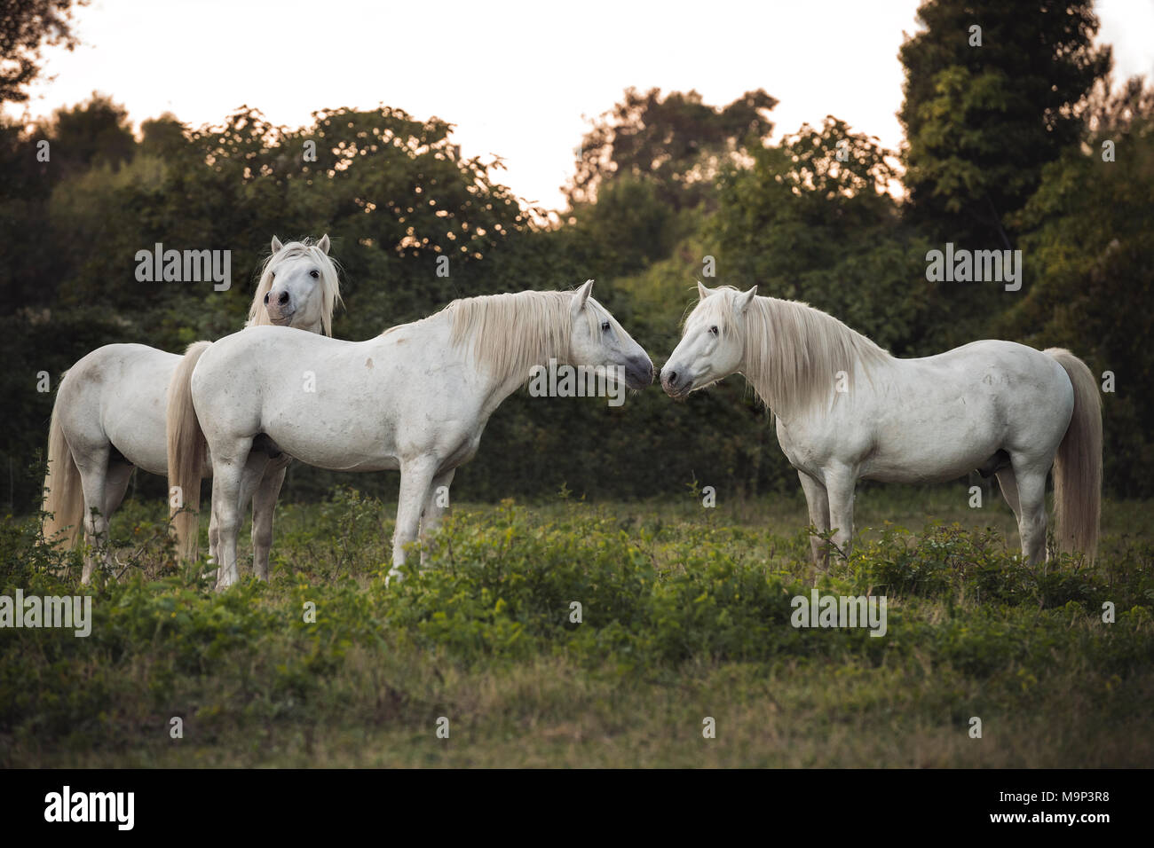 Three Camargue horses (Equus) stand on the meadow and touch each other tenderly, stallions, France Stock Photo