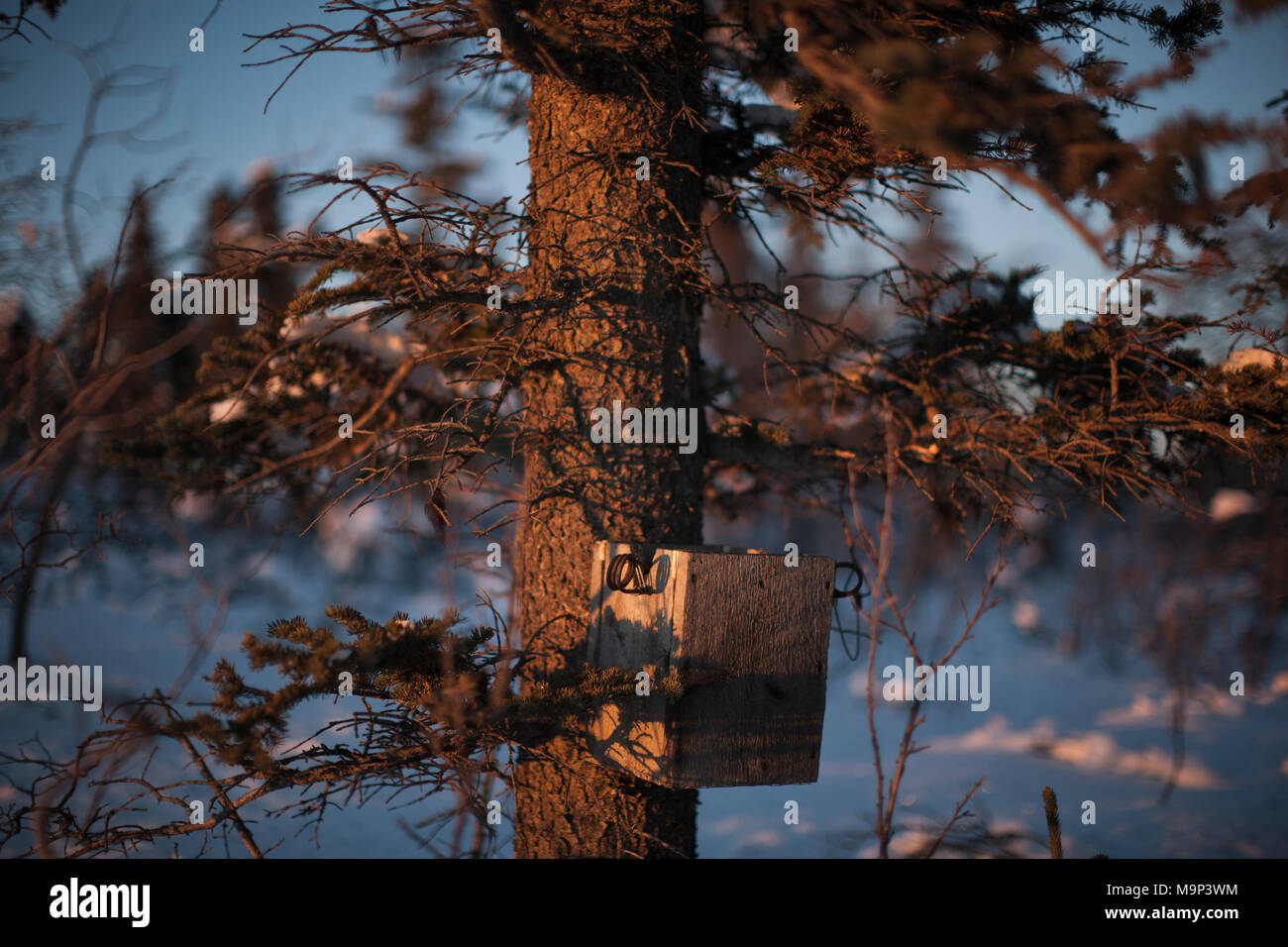 A marten trap in Yukon Territory, November 17, 2014. Rafal Gerszak/Aurora Photos - Stock Image