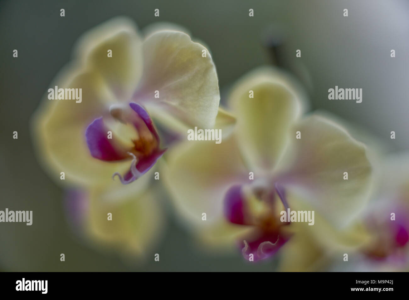 Dreamy Yellow Moth Flowers With Purple Flower Center Close Up Stock