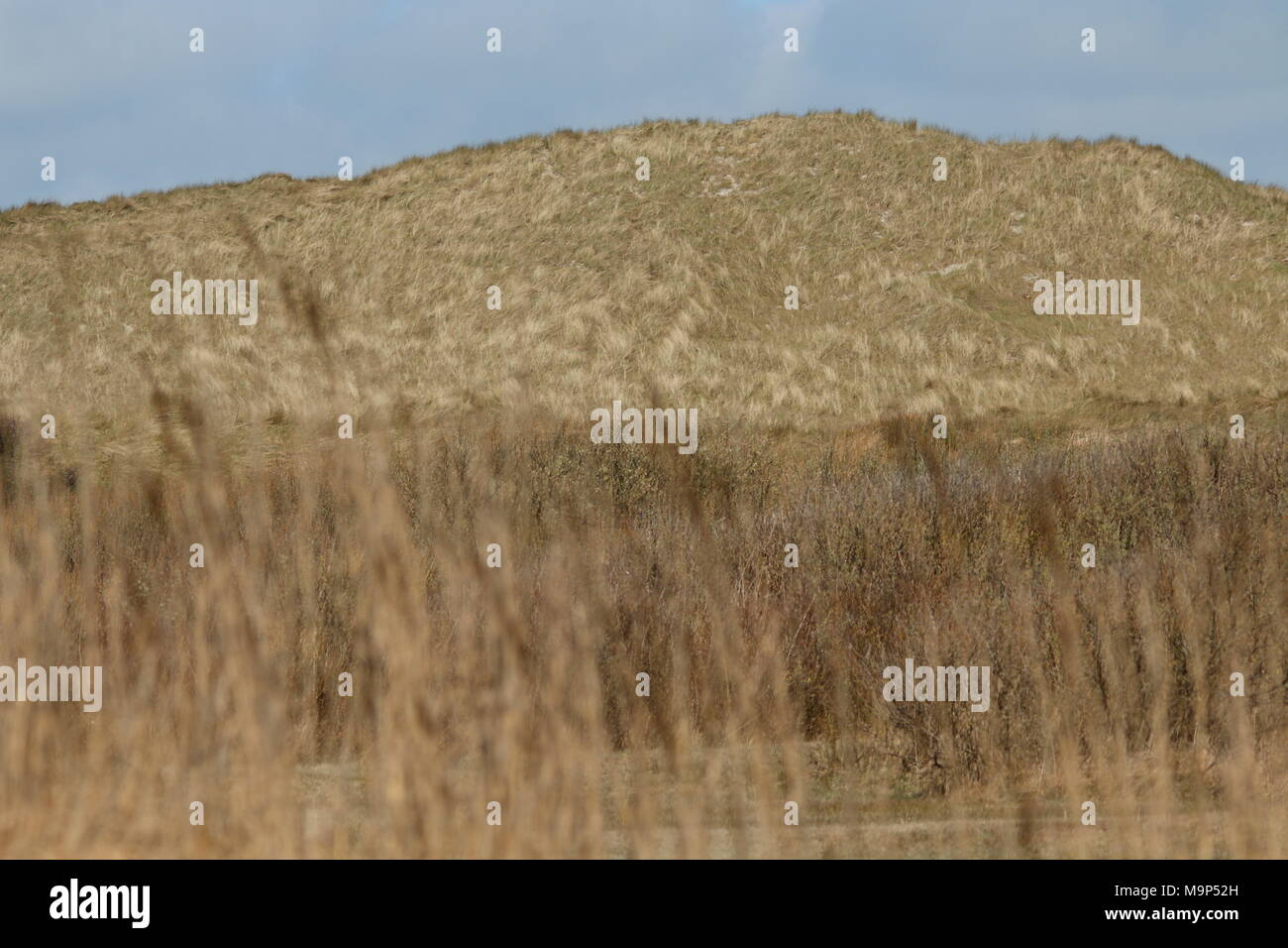 Dunes landscape with marram and bushes - Stock Image