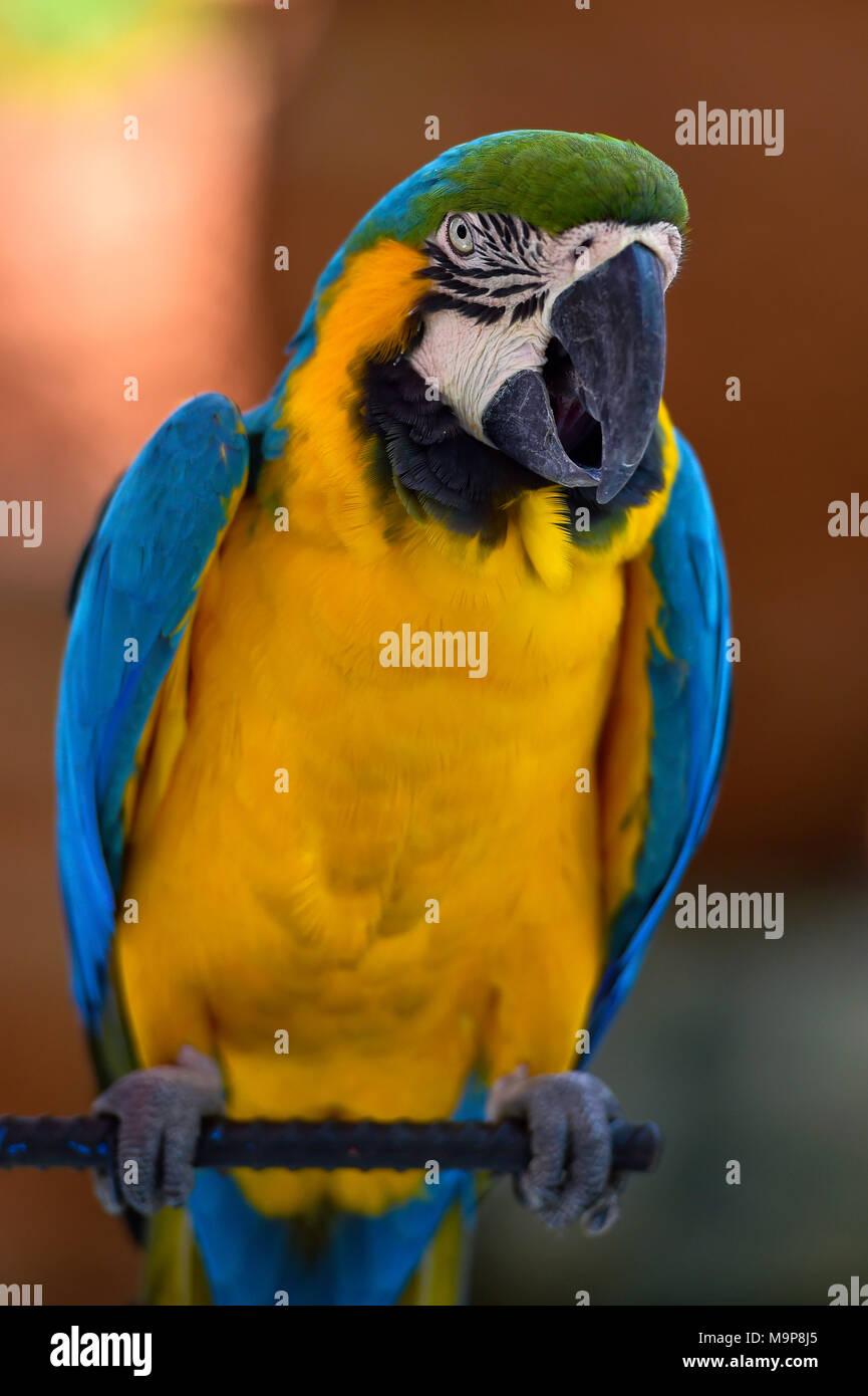 Blue and yellow macaw (Ara ararauna) sits on bar, captive, - Stock Image