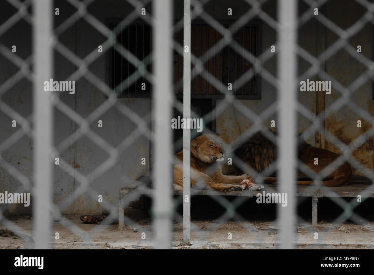 Pair of lions locked in the cage, concept - the bad living conditions of the king of the savannah - Stock Image