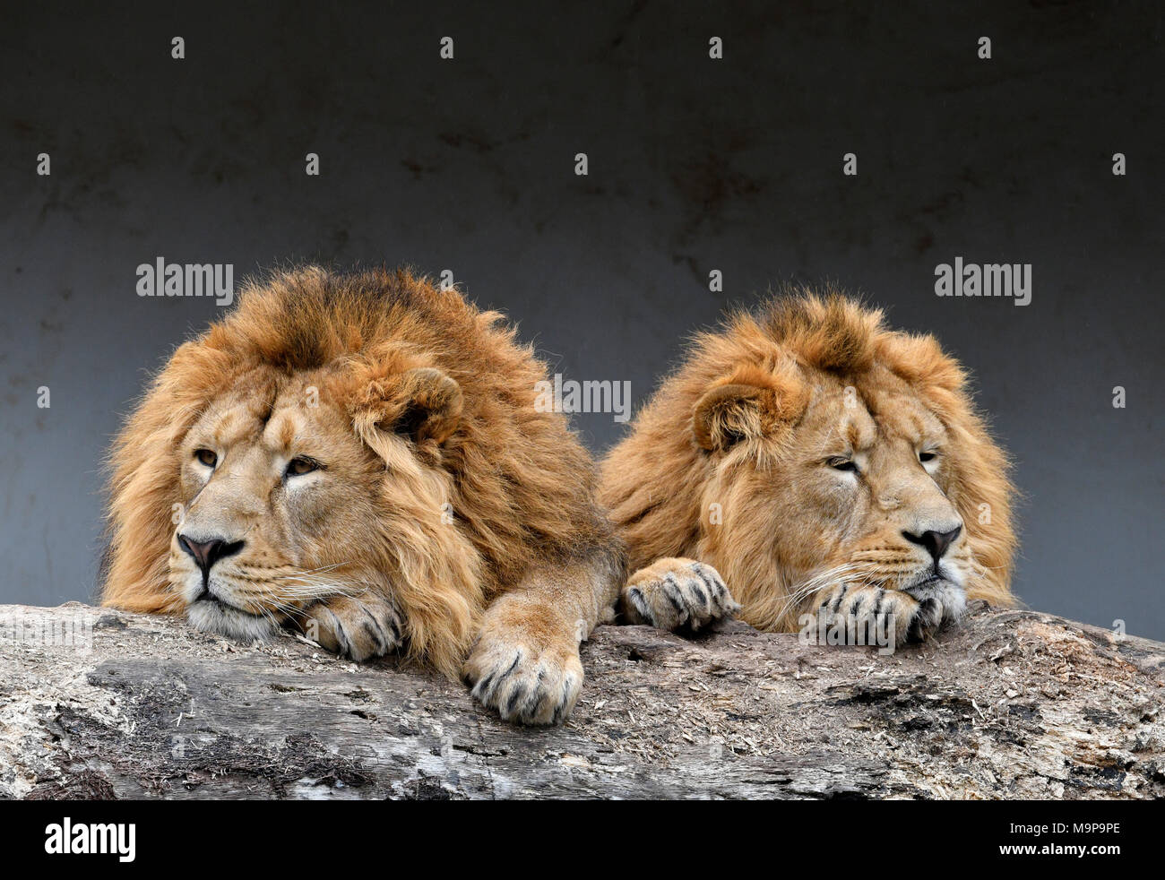 Asiatic Lions (Panthera leo persica), two males napping side by side, animal portrait, captive - Stock Image