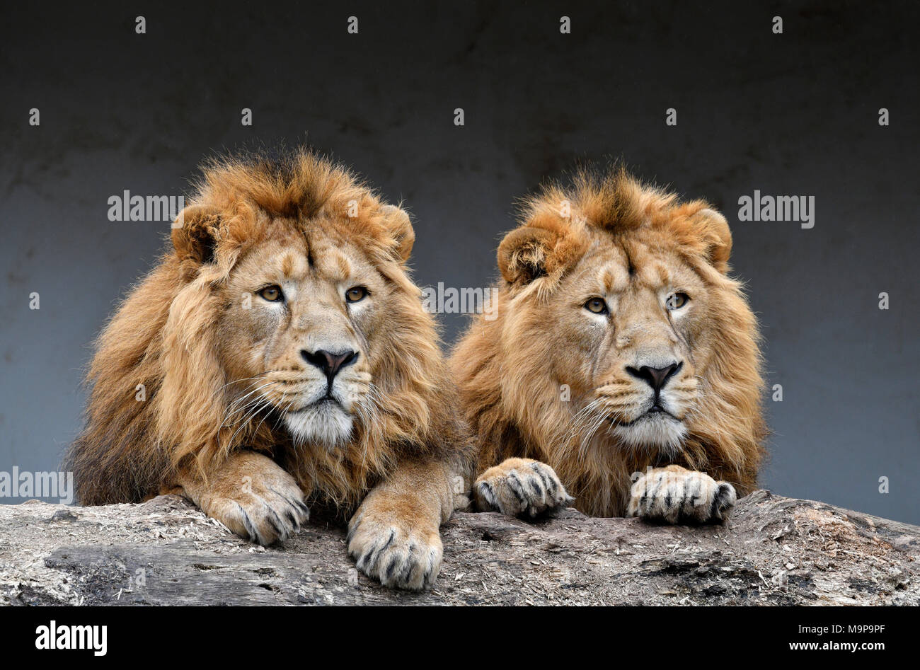 Asiatic Lions (Panthera leo persica), two males side by side, animal portrait, captive - Stock Image