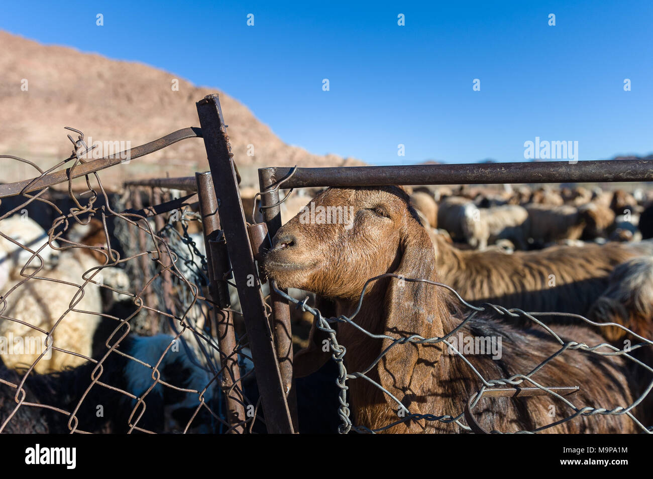 Stock breading of goat and sheep in the Wadi Rum. The Valley of the Moon, is a valley cut into the sandstone and granite rock in southern Jordan. - Stock Image