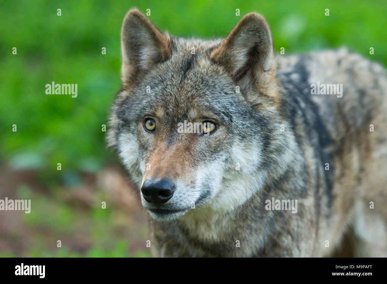 Gray wolf (Canis lupus), animal portrait, captive, Germany - Stock Image