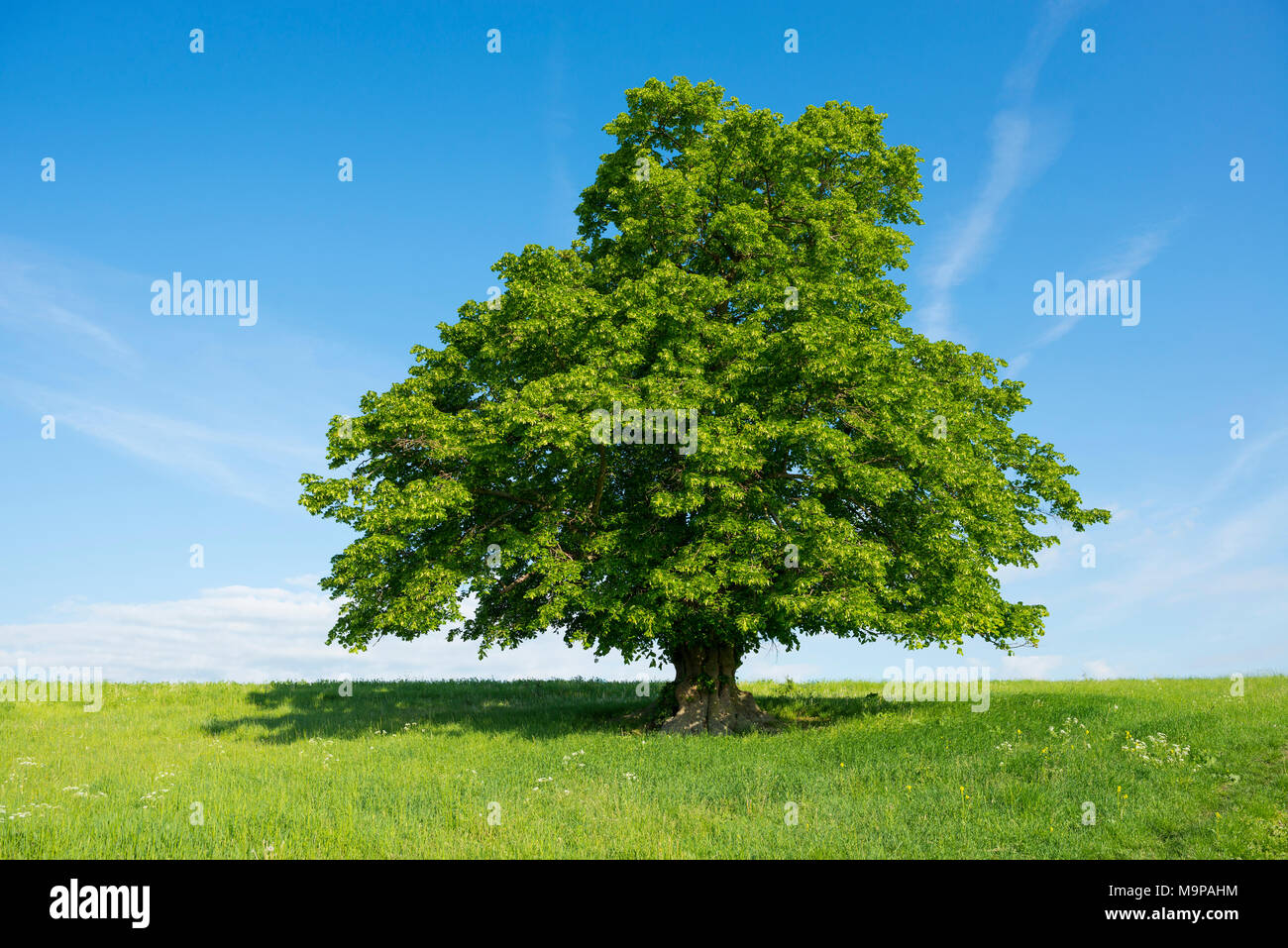400 years old large-leaved linden (Tilia platyphyllos) in green meadow, solitary tree, Thuringia, Germany Stock Photo