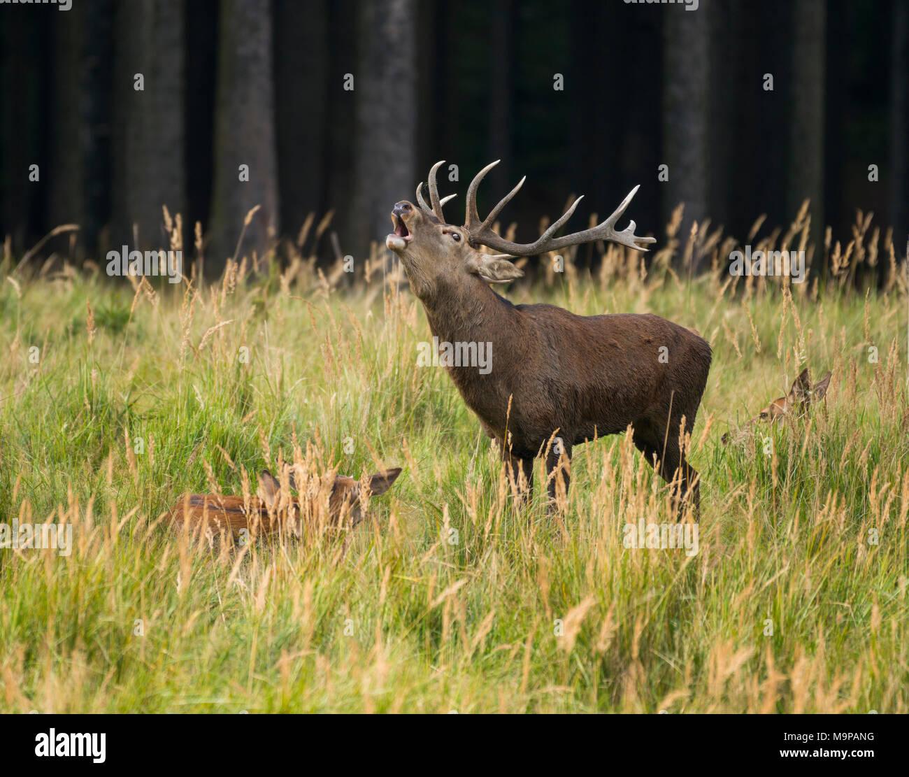 Red deer (Cervus elaphus) roars during rutting season, females lie in tall grass, captive, Germany - Stock Image