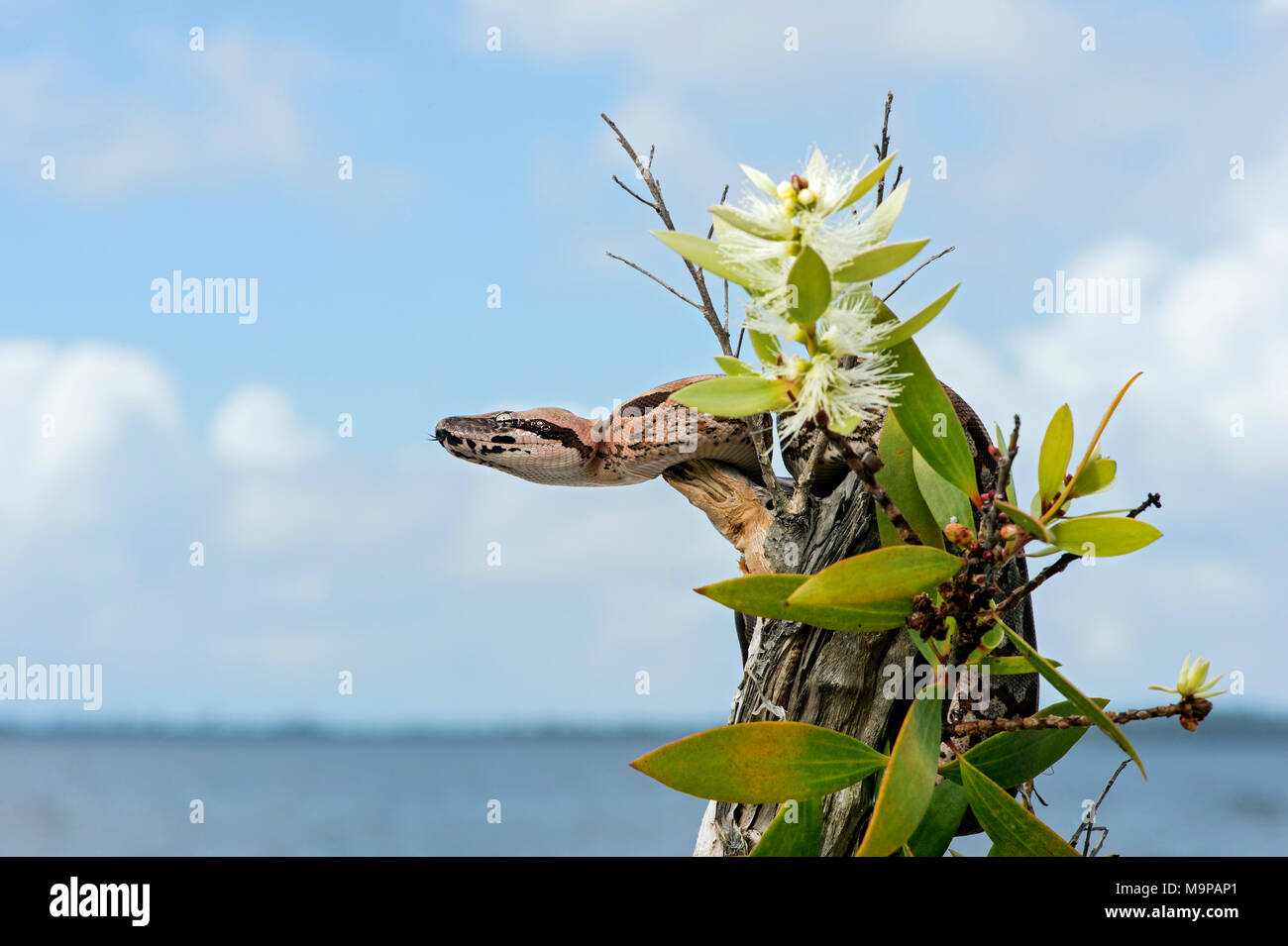 Malagasy ground boa (Acrantophis madagascariensis) young animal on blooming tree stump, Akanin Ny Nofy, Madagascar - Stock Image