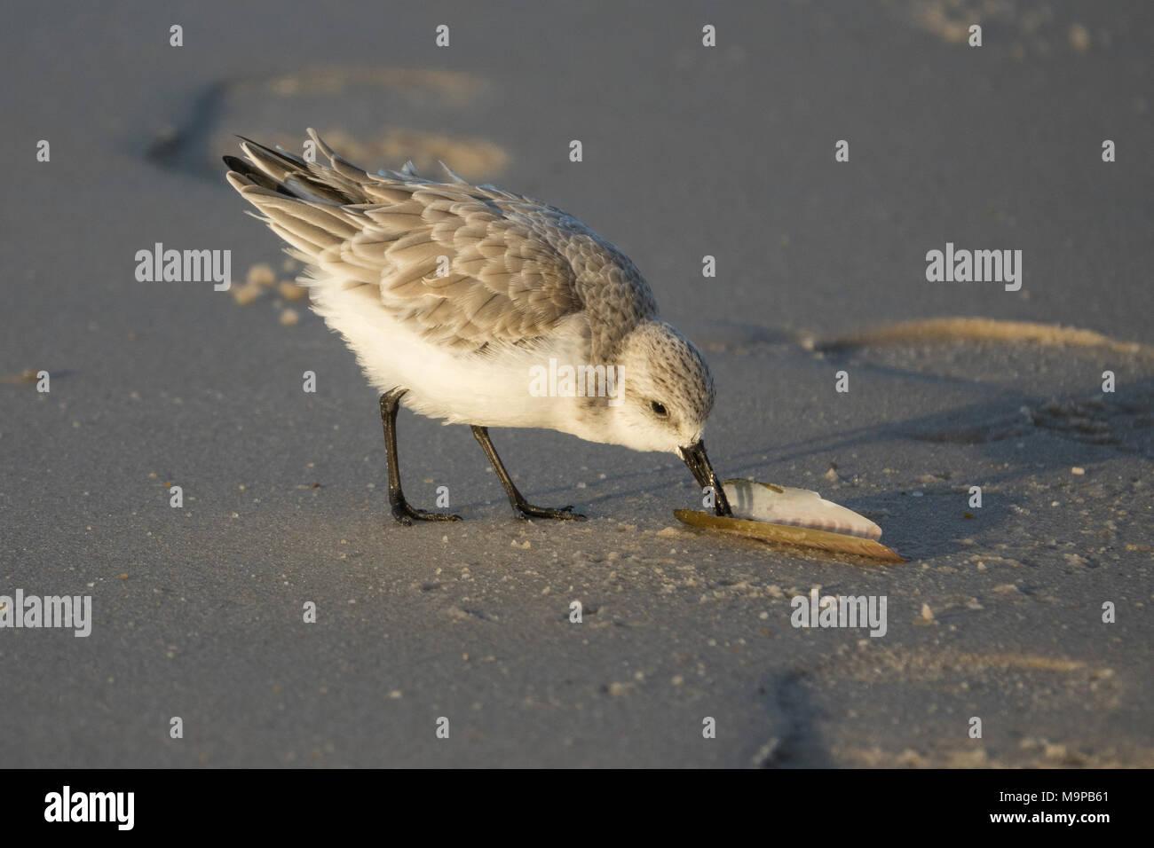 Sanderling (Calidris alba) picks on seashell, Sylt, North Frisia, Schleswig-Holstein, Germany - Stock Image