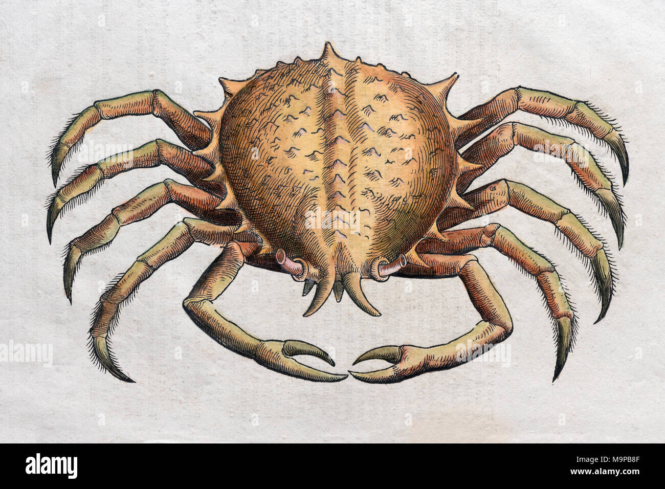 Crab (Brachyura), hand-coloured woodcut by Pietro Andrea Mattioli, 1570 - Stock Image