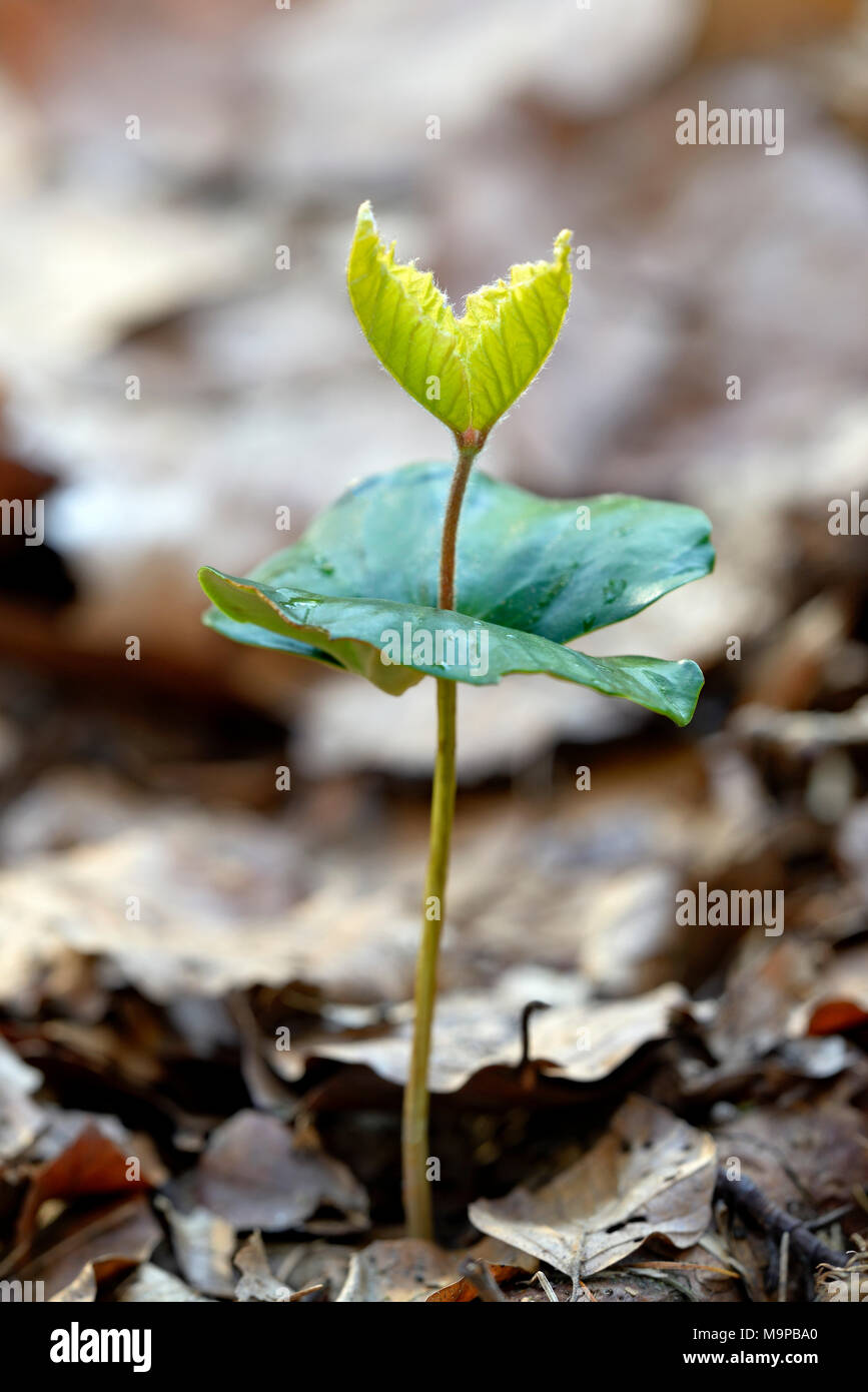 Common beech (Fagus sylvatica), beech seedling, seedling in deciduous soil, North Rhine-Westphalia, Germany - Stock Image
