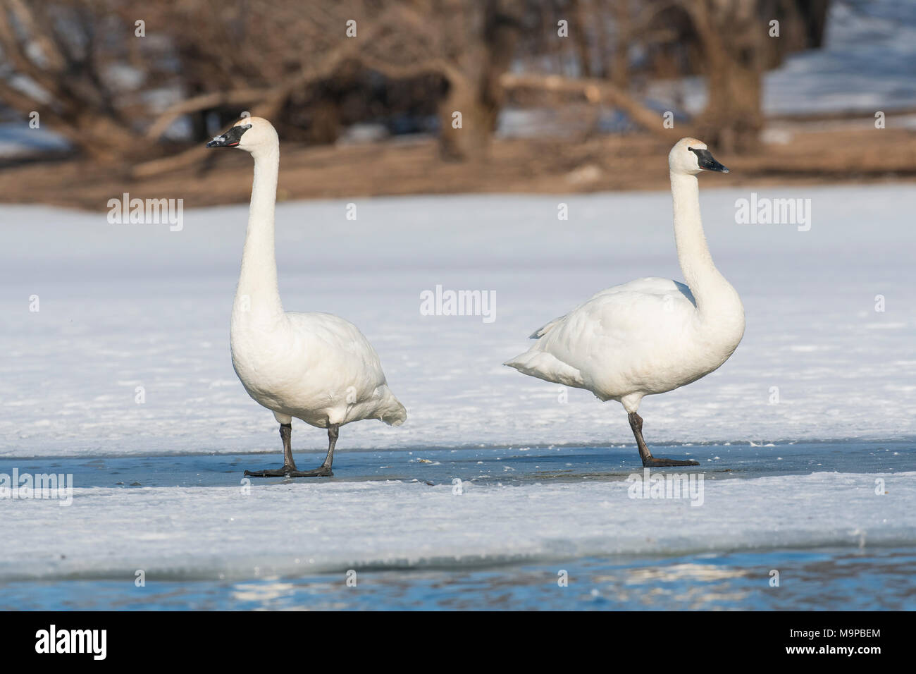 Trumpeter swans (Cygnus buccinator) standing on ice, St. Croix river, WI, USA, mid-March, by Dominique Braud/Dembinsky Photo Assoc - Stock Image