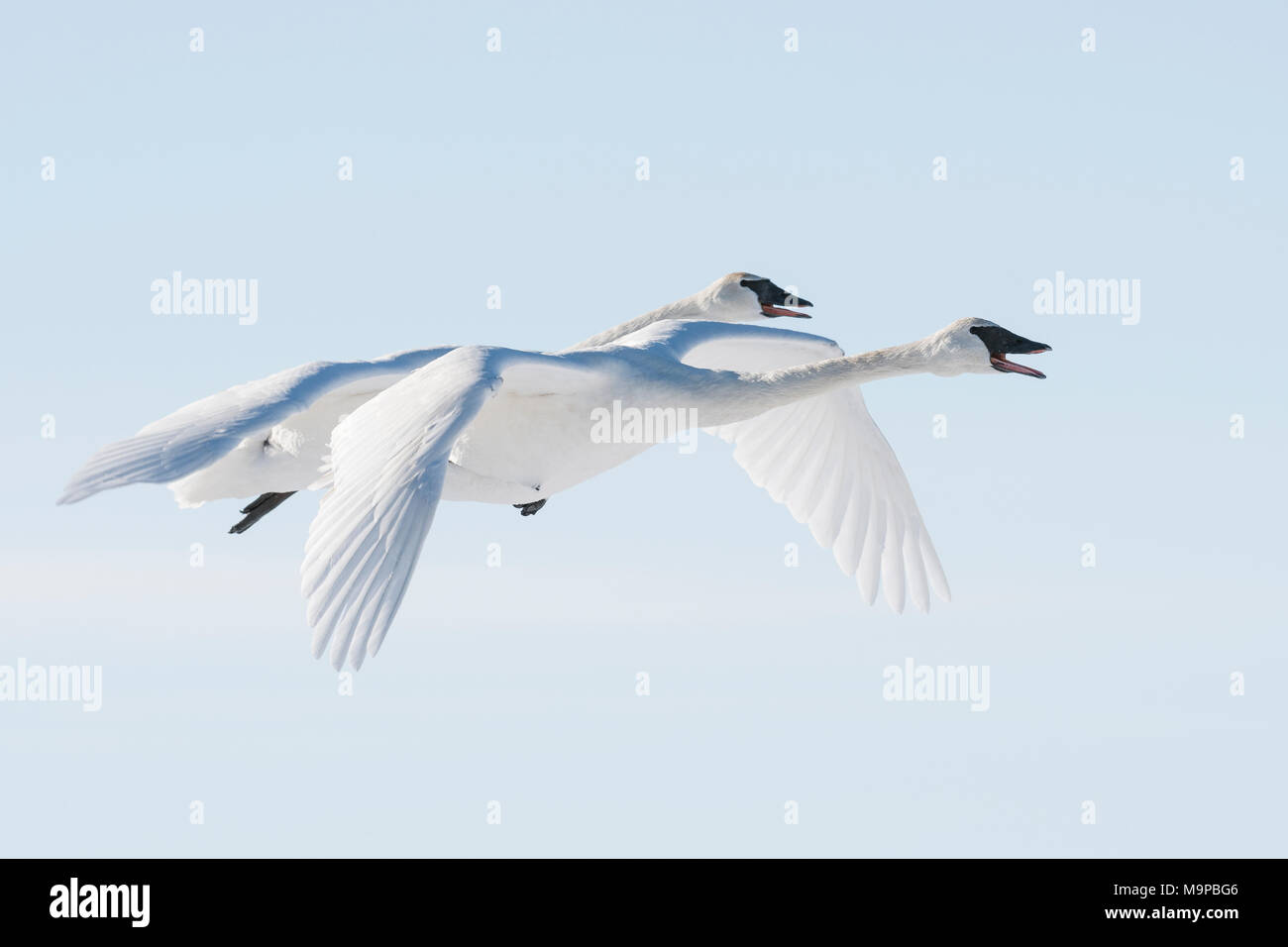 Trumpeter swans (Cygnus buccinator) flying, WI, USA, mid-February, by Dominique Braud/Dembinsky Photo Assoc, - Stock Image