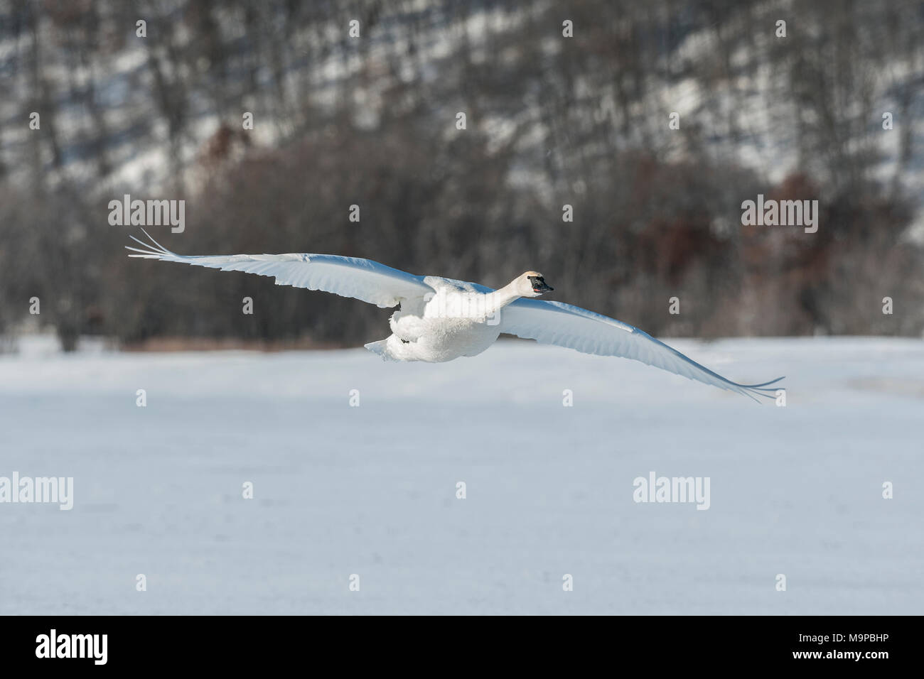 Trumpeter swan (Cygnus buccinator) landing on the frozen St. Croix River. WI, USA, January, by Dominique Braud/Dembinsky Photo Assoc - Stock Image