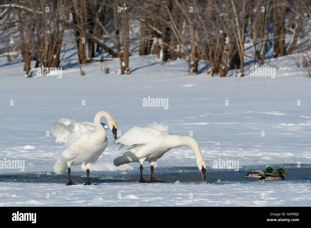 Trumpeter swans (Cygnus buccinator) & Mallard ducks (Anas platyrhynchos) St. Croix River. WI, USA, early January, by Dominique Braud/Dembinsky Photo A - Stock Image