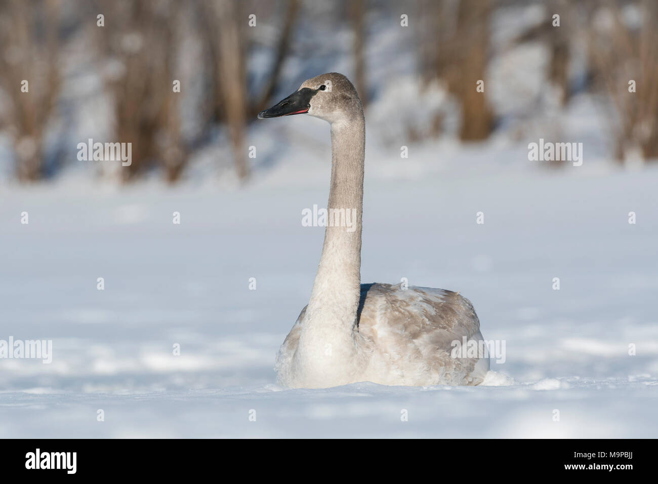 Immature Trumpeter swan (Cygnus buccinator) resting on St. Croix River, WI, USA, by Dominique Braud/Dembinsky Photo Assoc - Stock Image