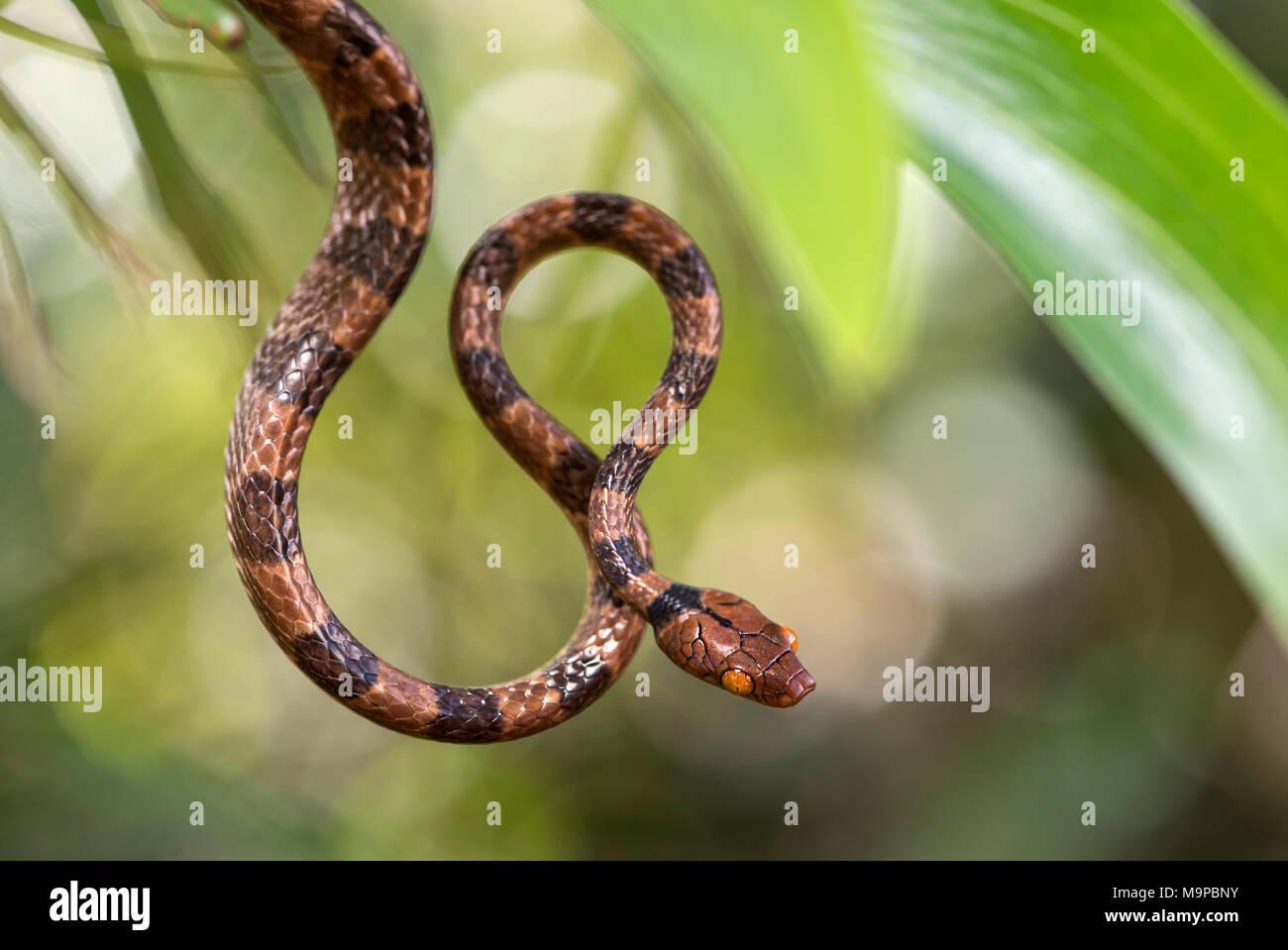 Tree Snake (Stenophis arctifasciatus), Ankanin Ny Nofy, Madagascar - Stock Image