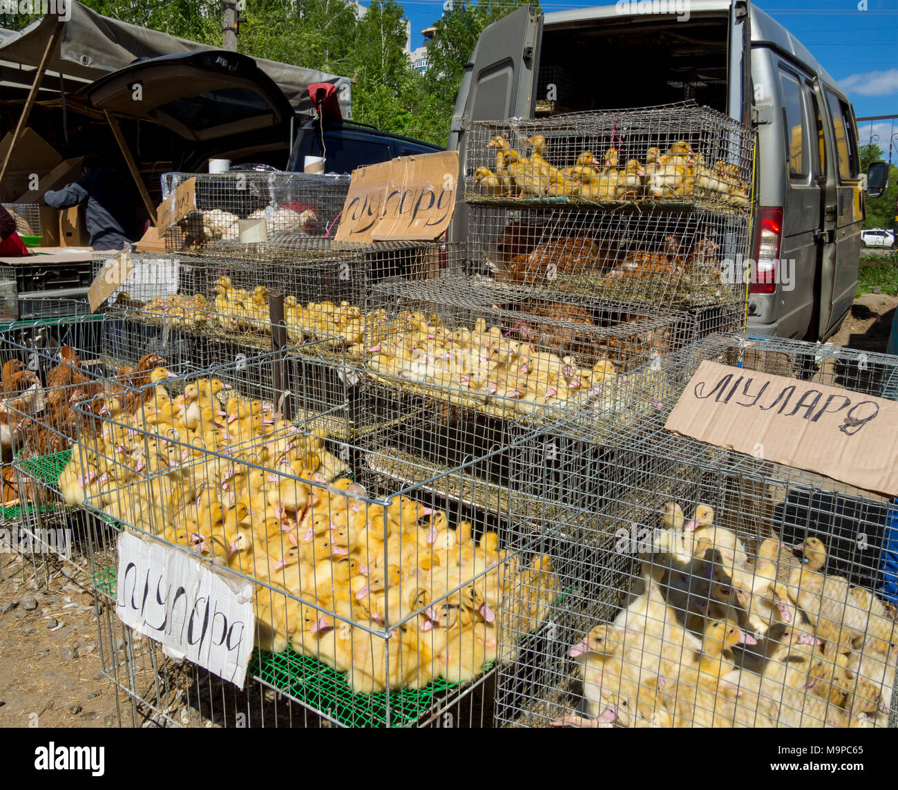 Voronezh, Russia - May 13, 2017: Row with poultry on the street market - Stock Image