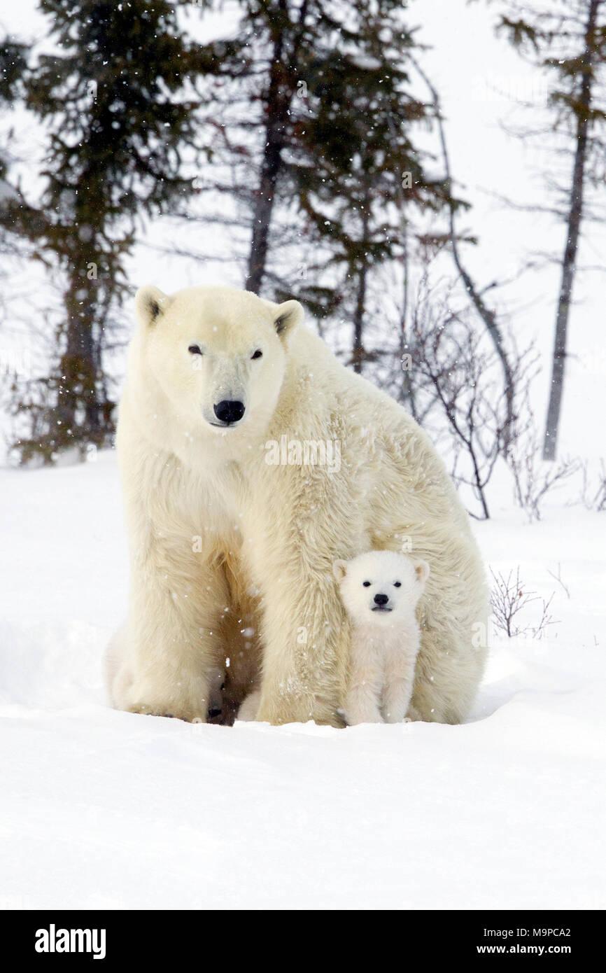 Polar Bear Mom and Cub - Stock Image