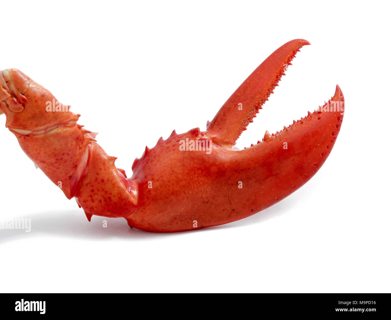 Lobster claw, lateral - Stock Image