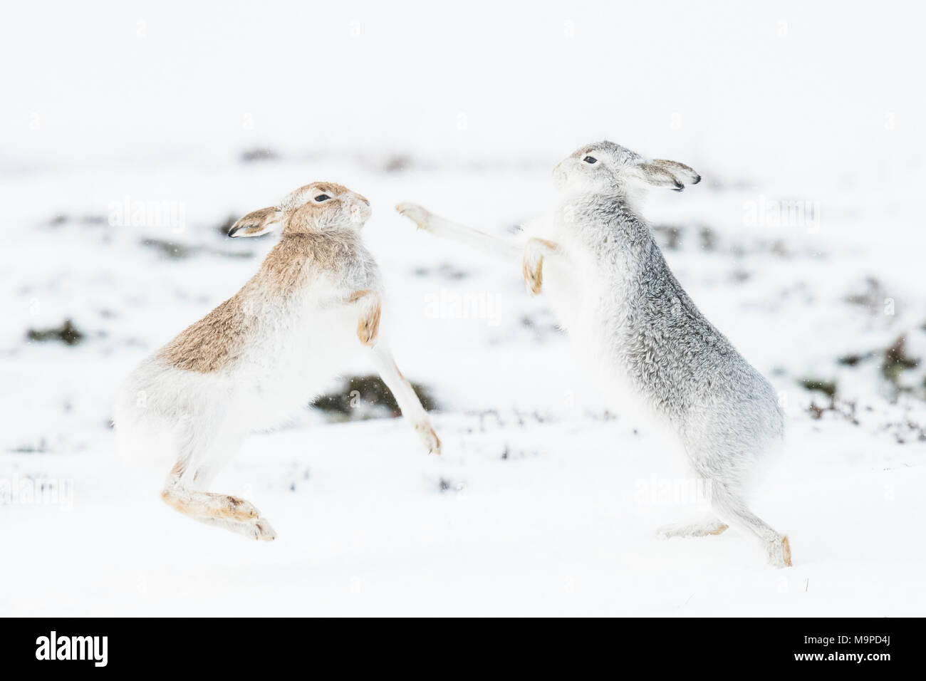 Mountain hares (Lepus timidus) boxing in the snow, behavior. hierarchy, winter coat, Cairngroms National Park, Highlands - Stock Image